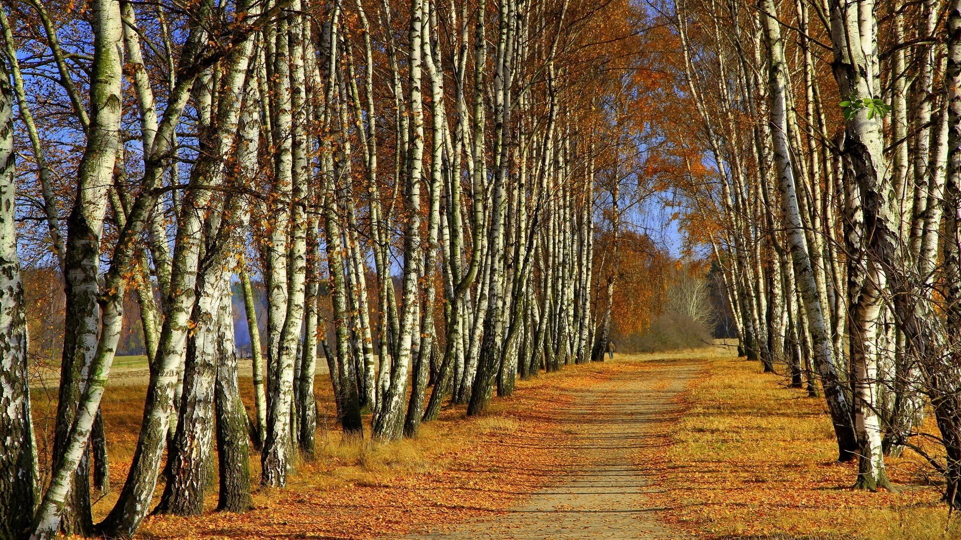 Birch Tree Wallpaper image hd