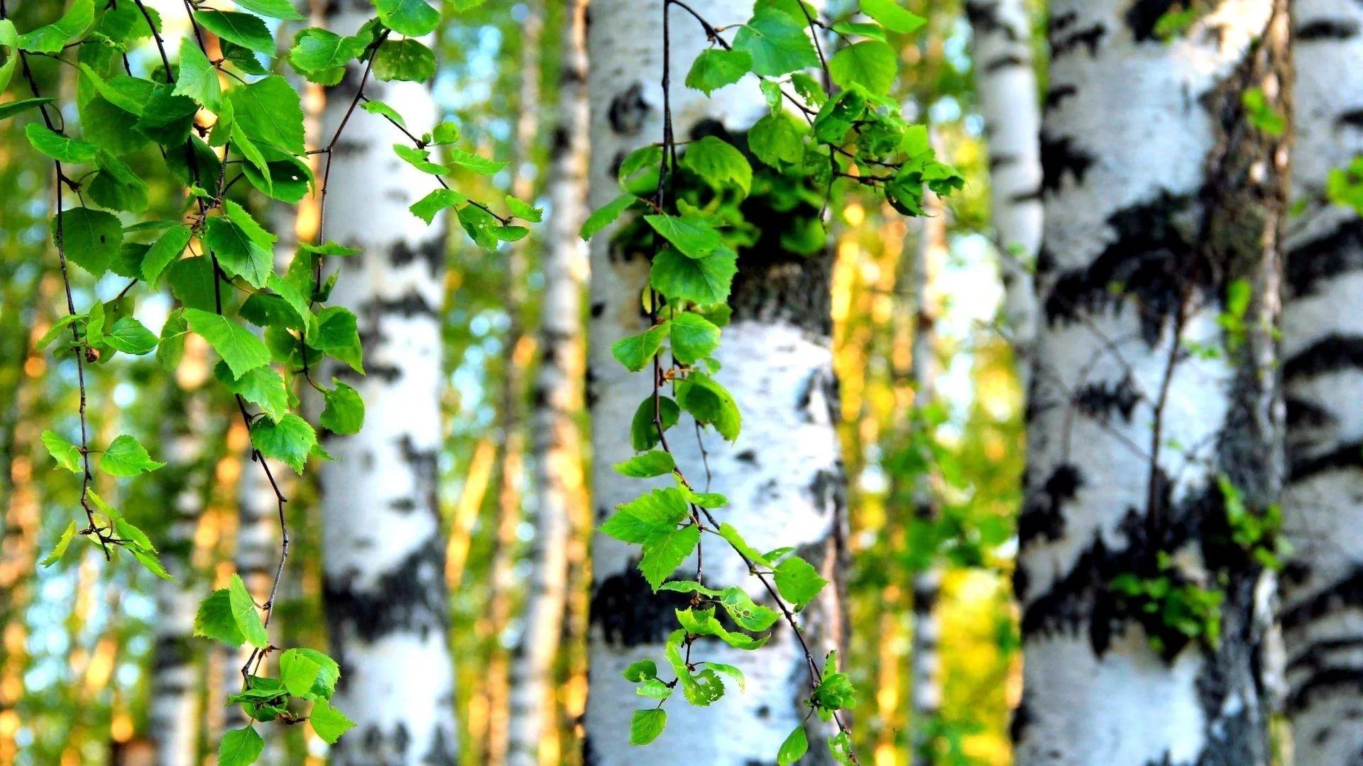Birch Tree Full HD Wallpaper