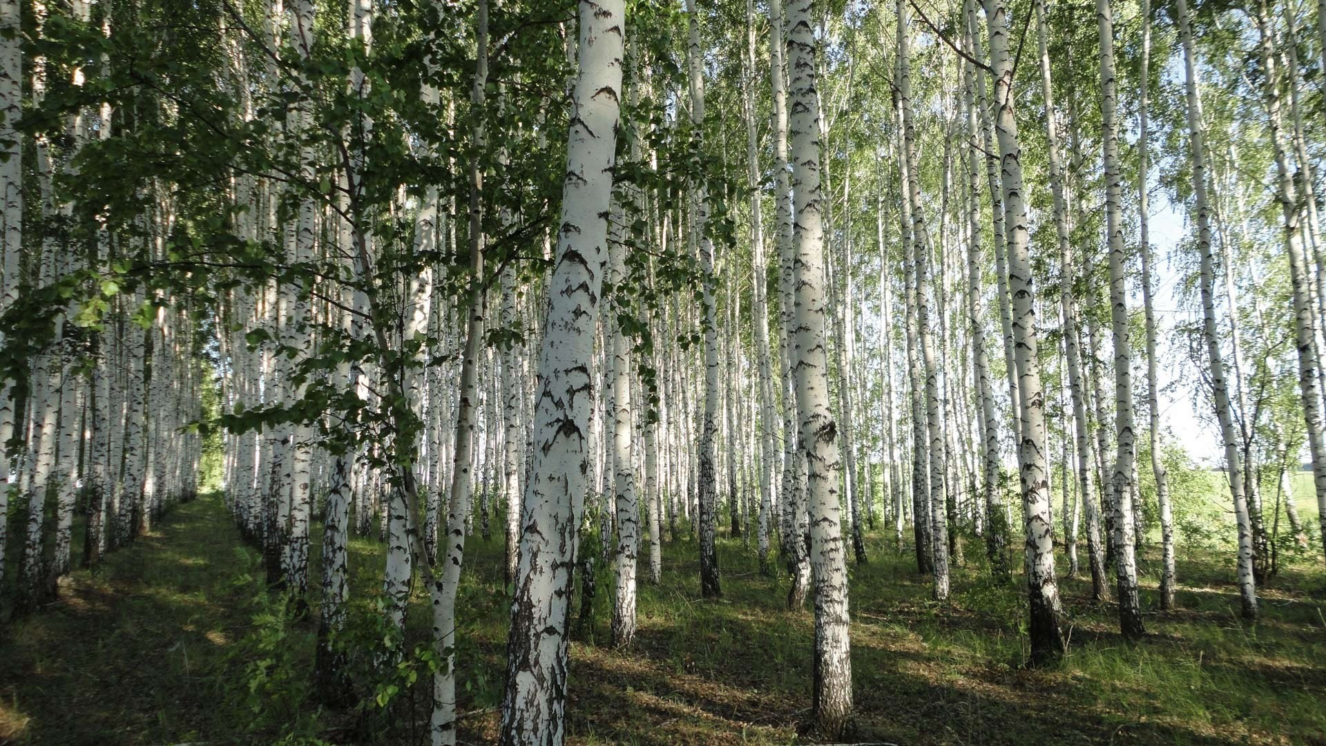 Birch Tree Picture