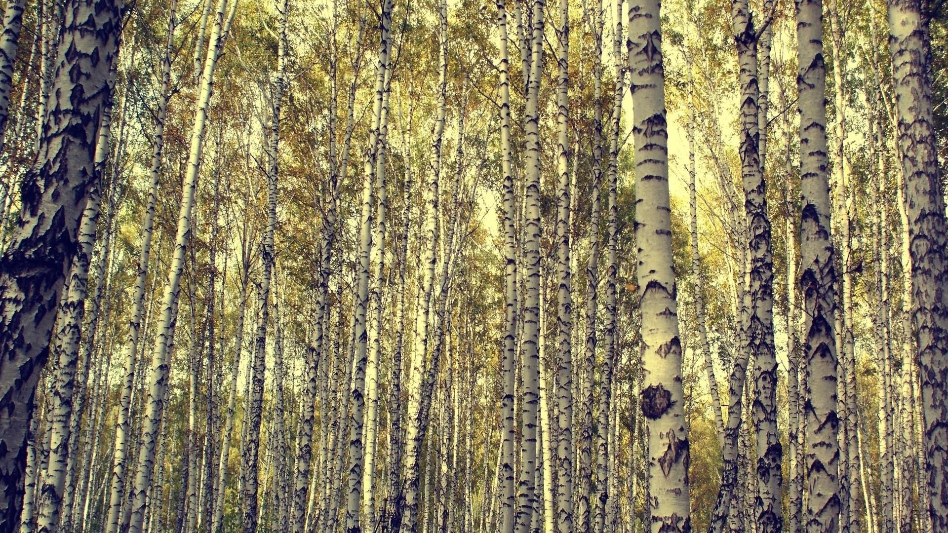 Birch Tree hd wallpaper download