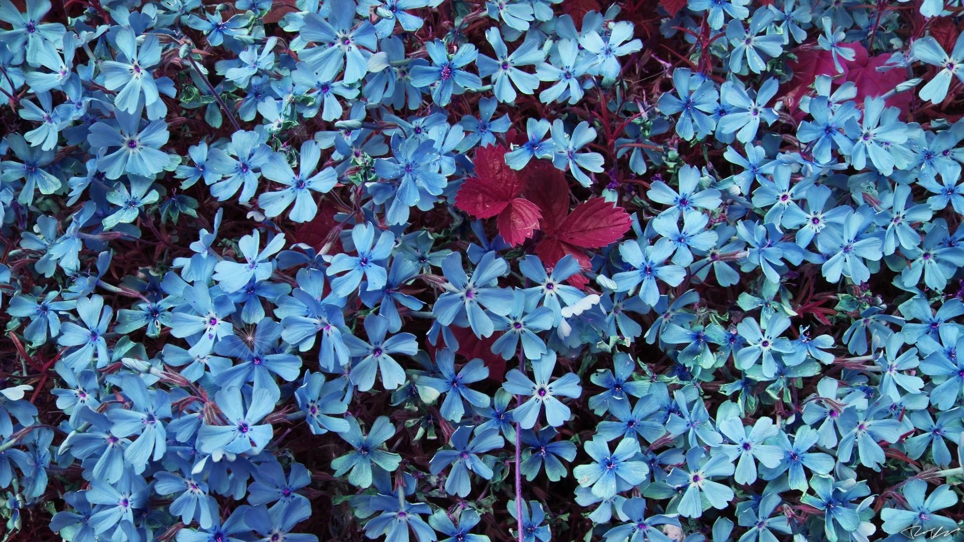 Blue Flower wallpaper photo hd