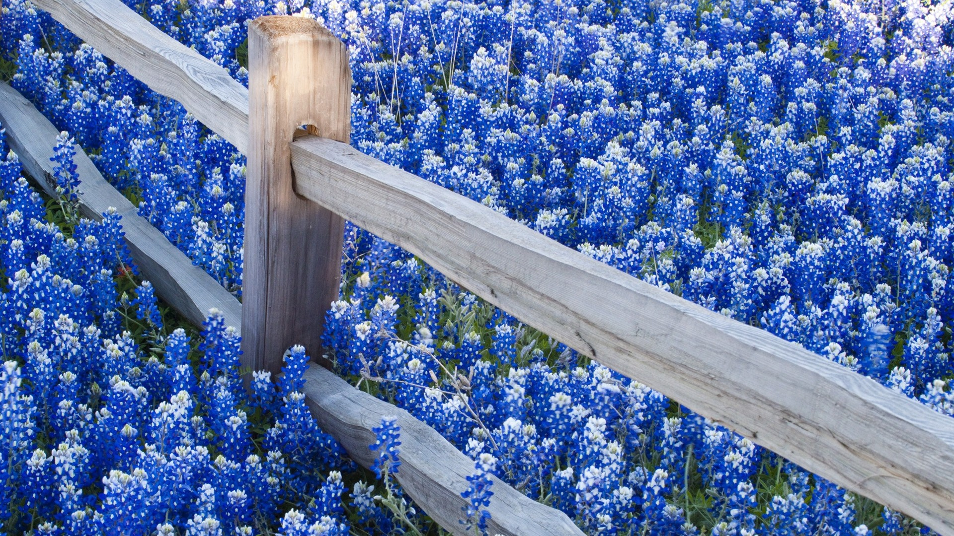 Blue Flower Picture