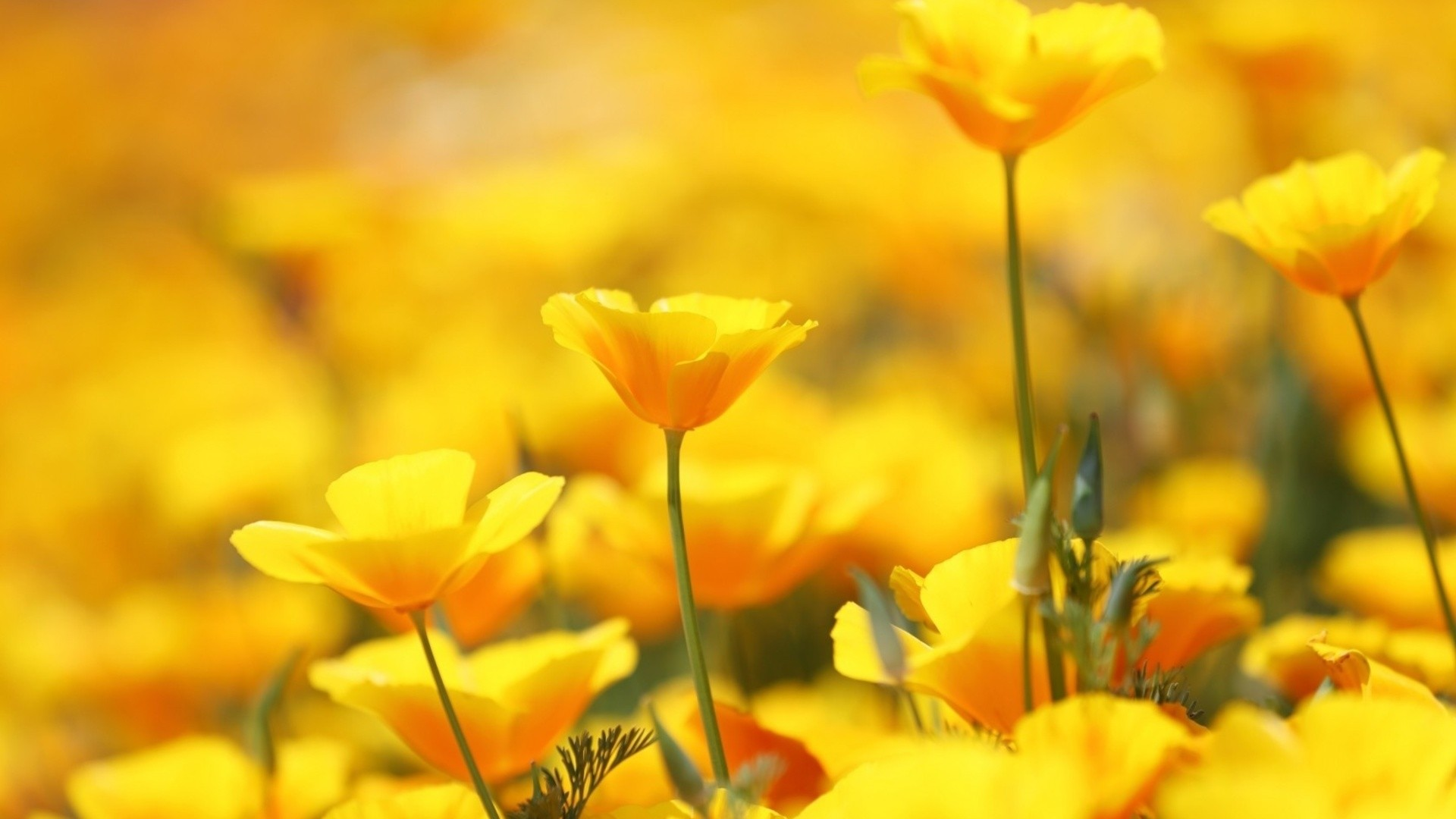 Yellow Flower Wallpaper Picture hd