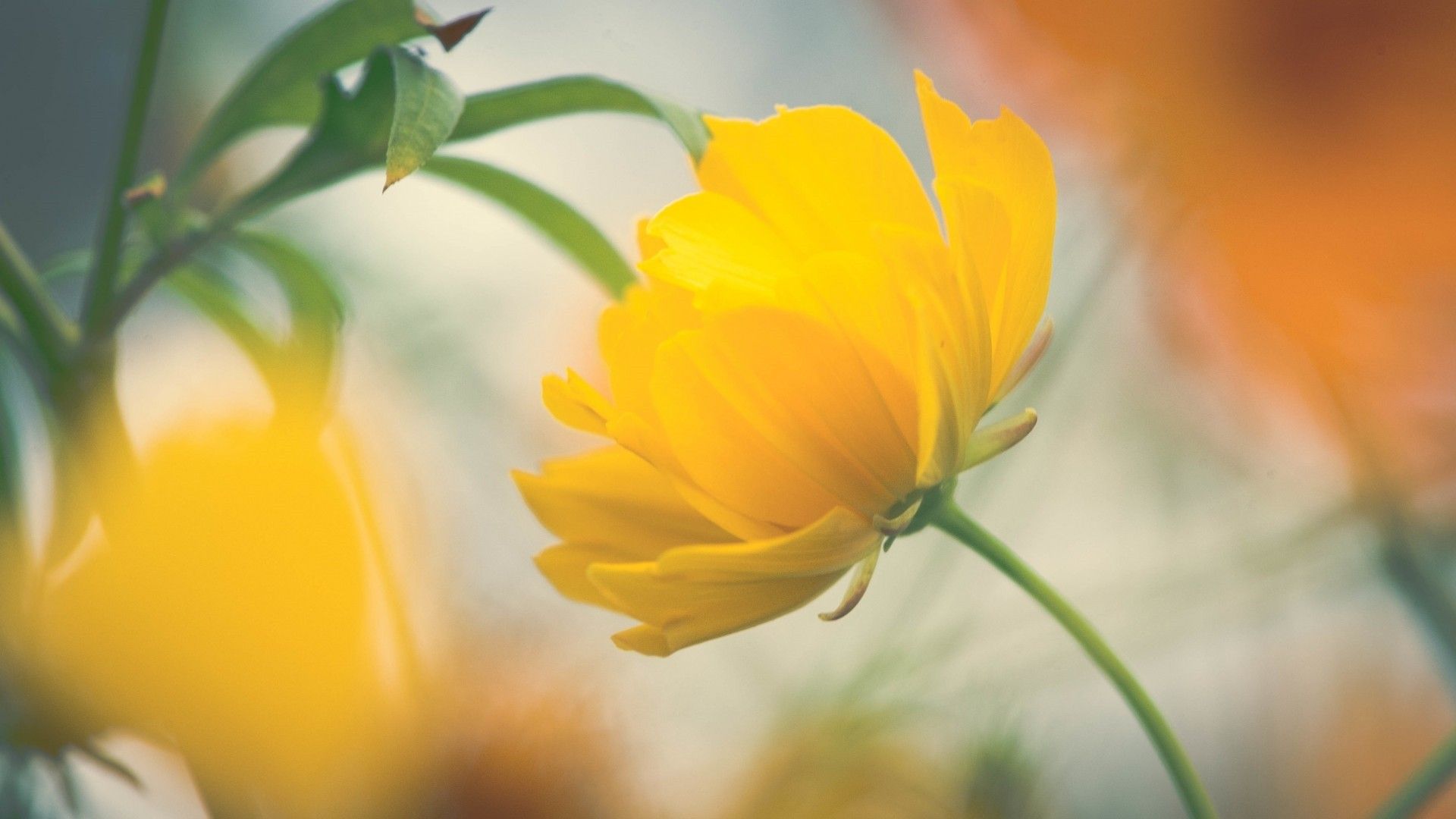 Yellow Flower Wallpaper image hd