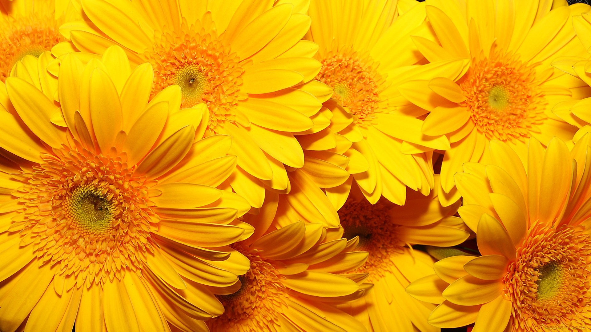 Yellow Flower Wallpaper for pc