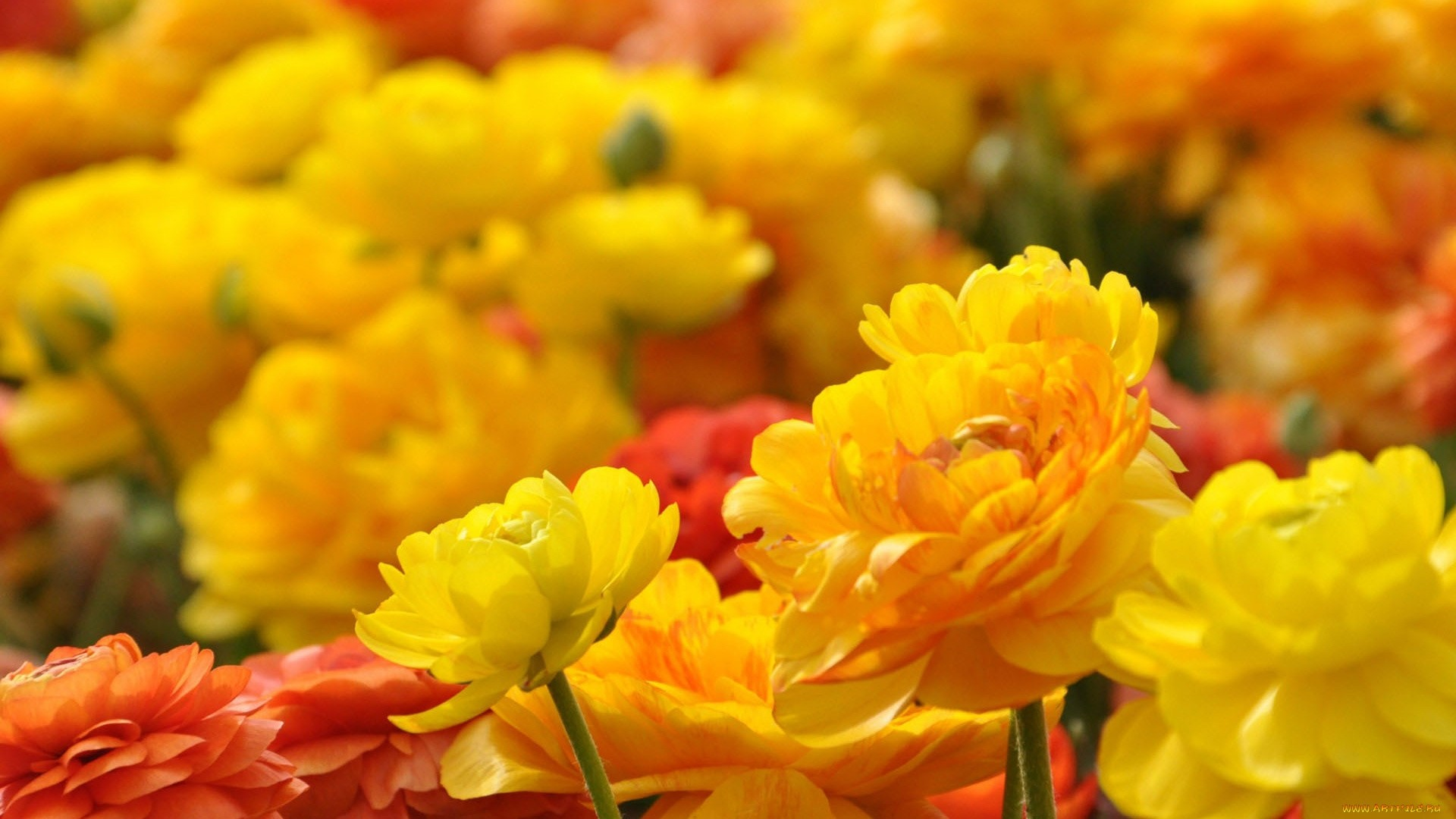 Yellow Flower HD Wallpaper