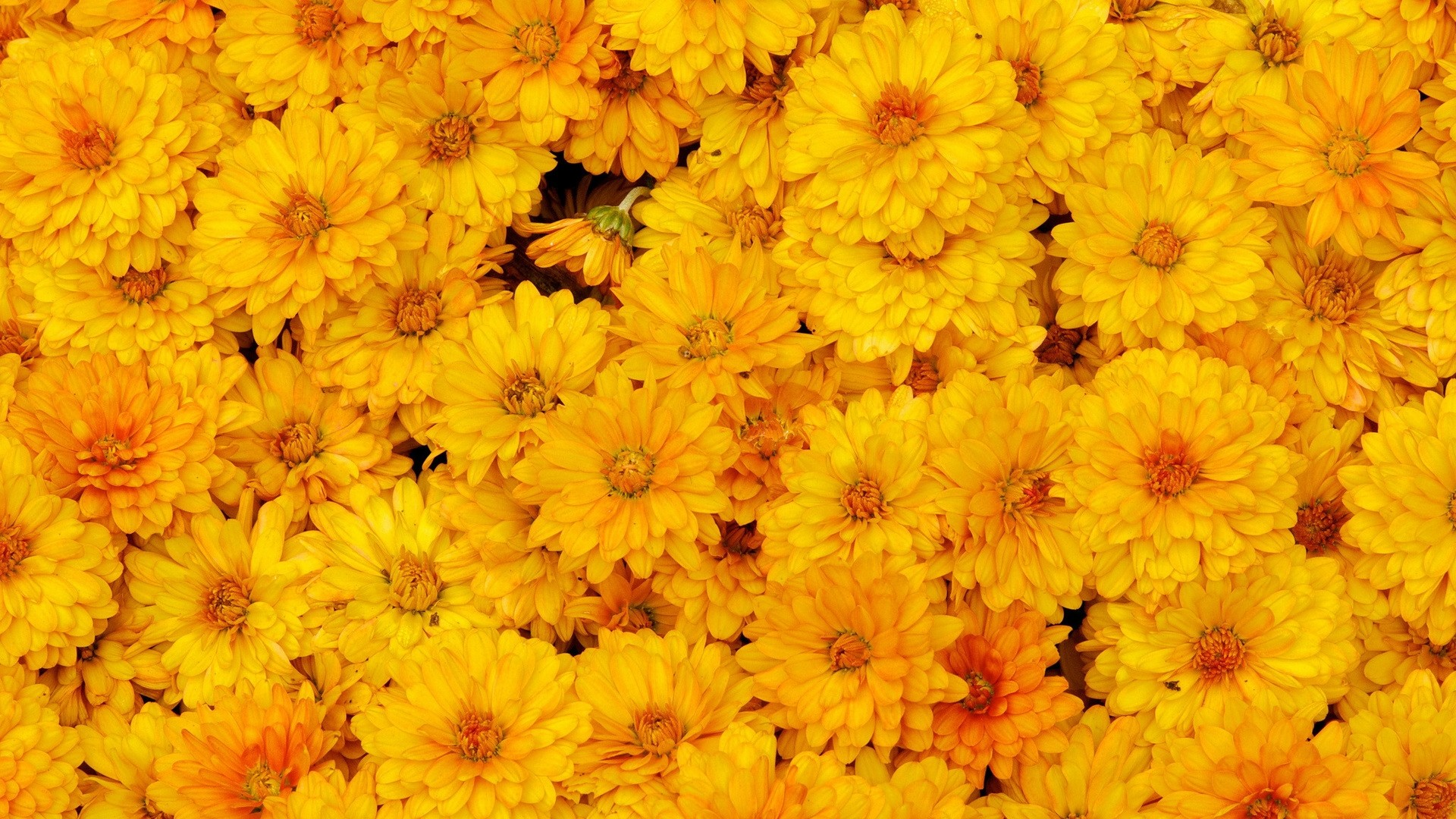 Yellow Flower Free Wallpaper and Background