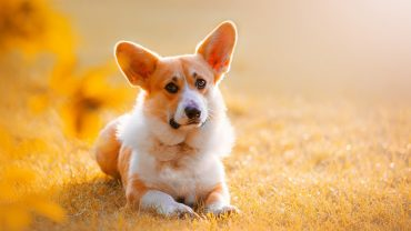 Corgi Background Wallpaper