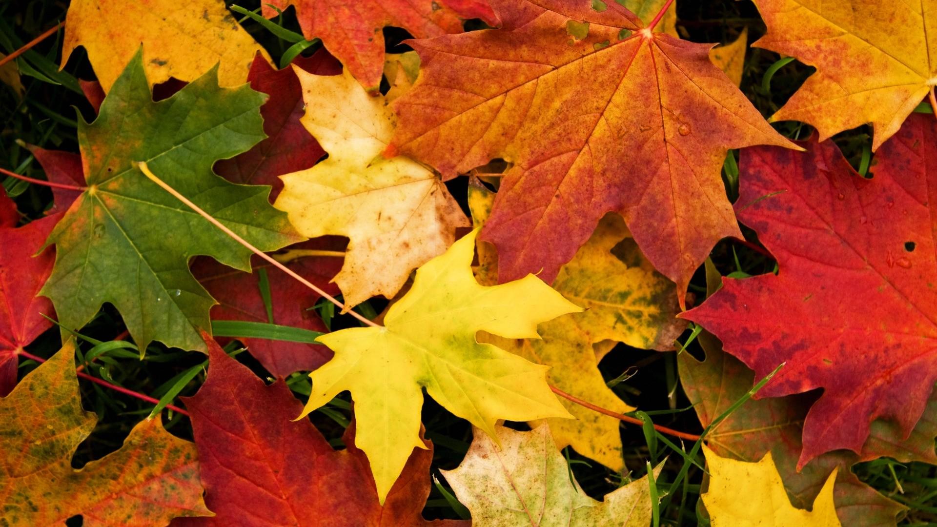 Fall Leaves hd wallpaper download