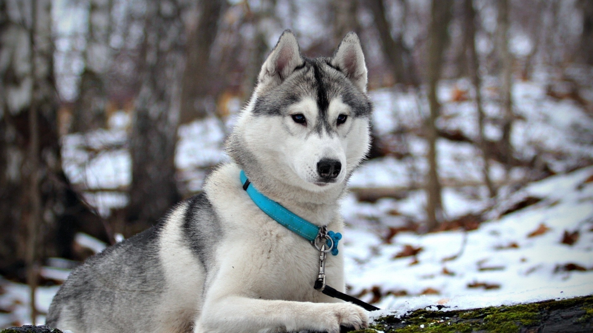 Husky Free Wallpaper and Background