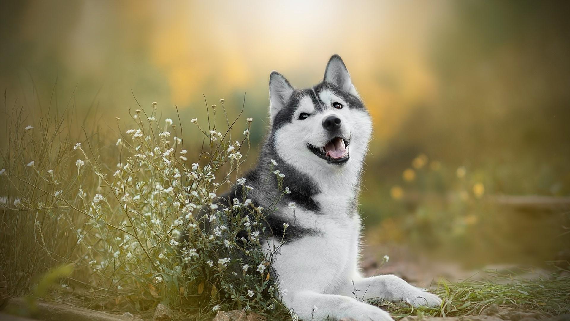 Husky hd wallpaper download