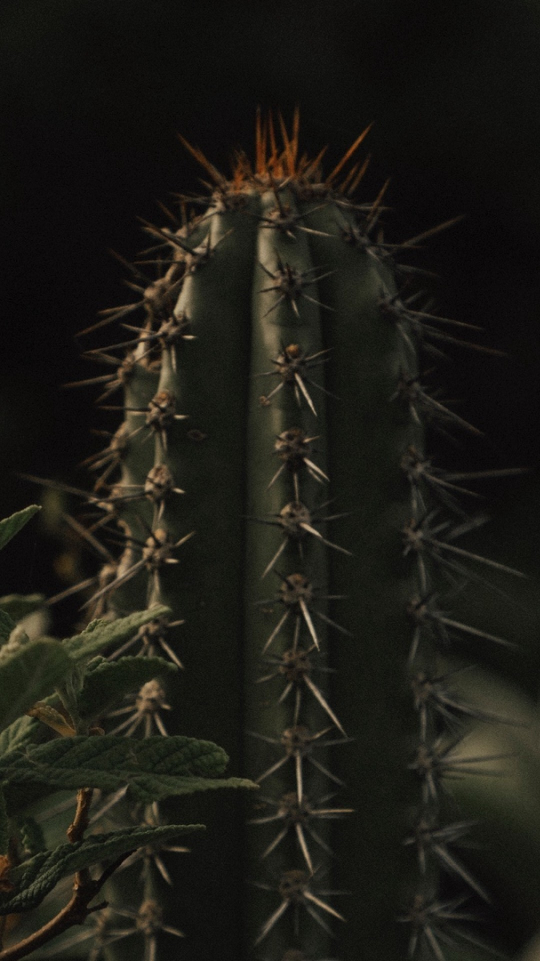 Cactus wallpaper for android