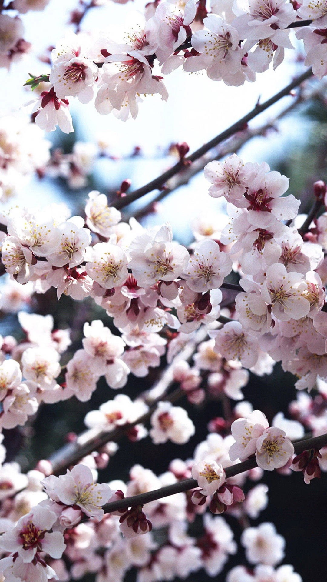 Cherry Blossom iphone home screen wallpaper