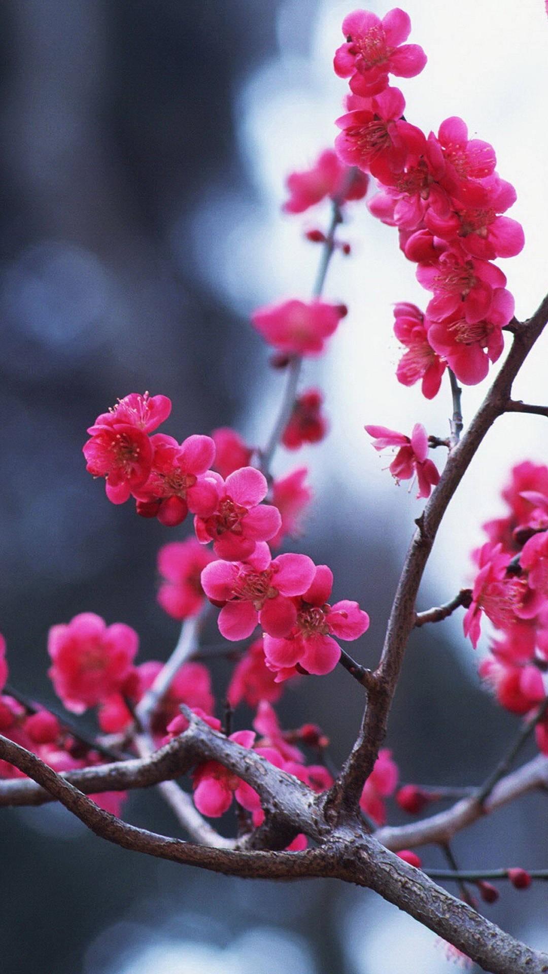Cherry Blossom screensaver wallpaper