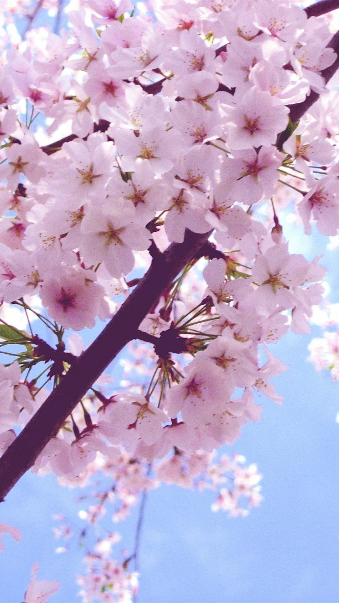 Cherry Blossom free wallpaper for android