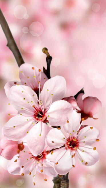 Cherry Blossom phone wallpaper hd