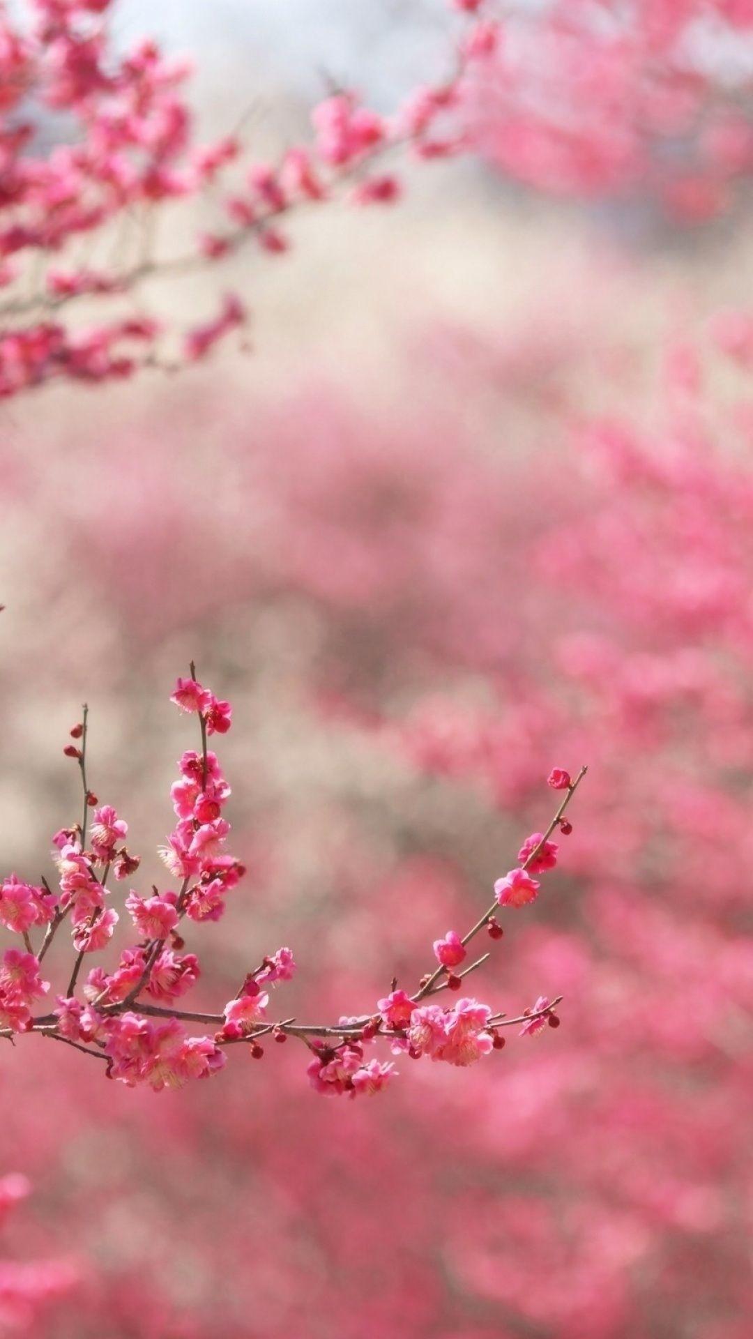 Cherry Blossom iphone 8 plus wallpaper