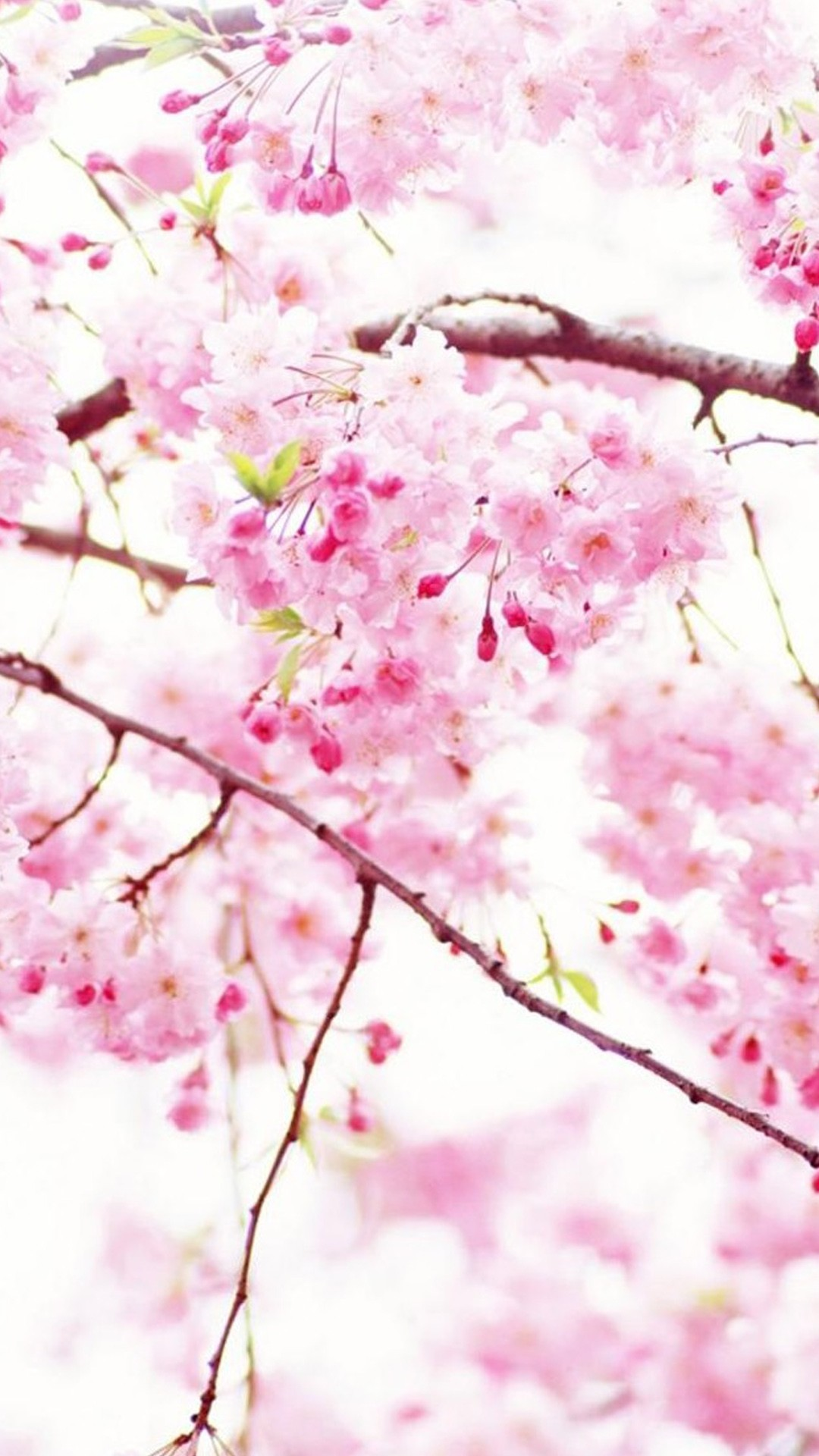 Cherry Blossom wallpaper for iphone