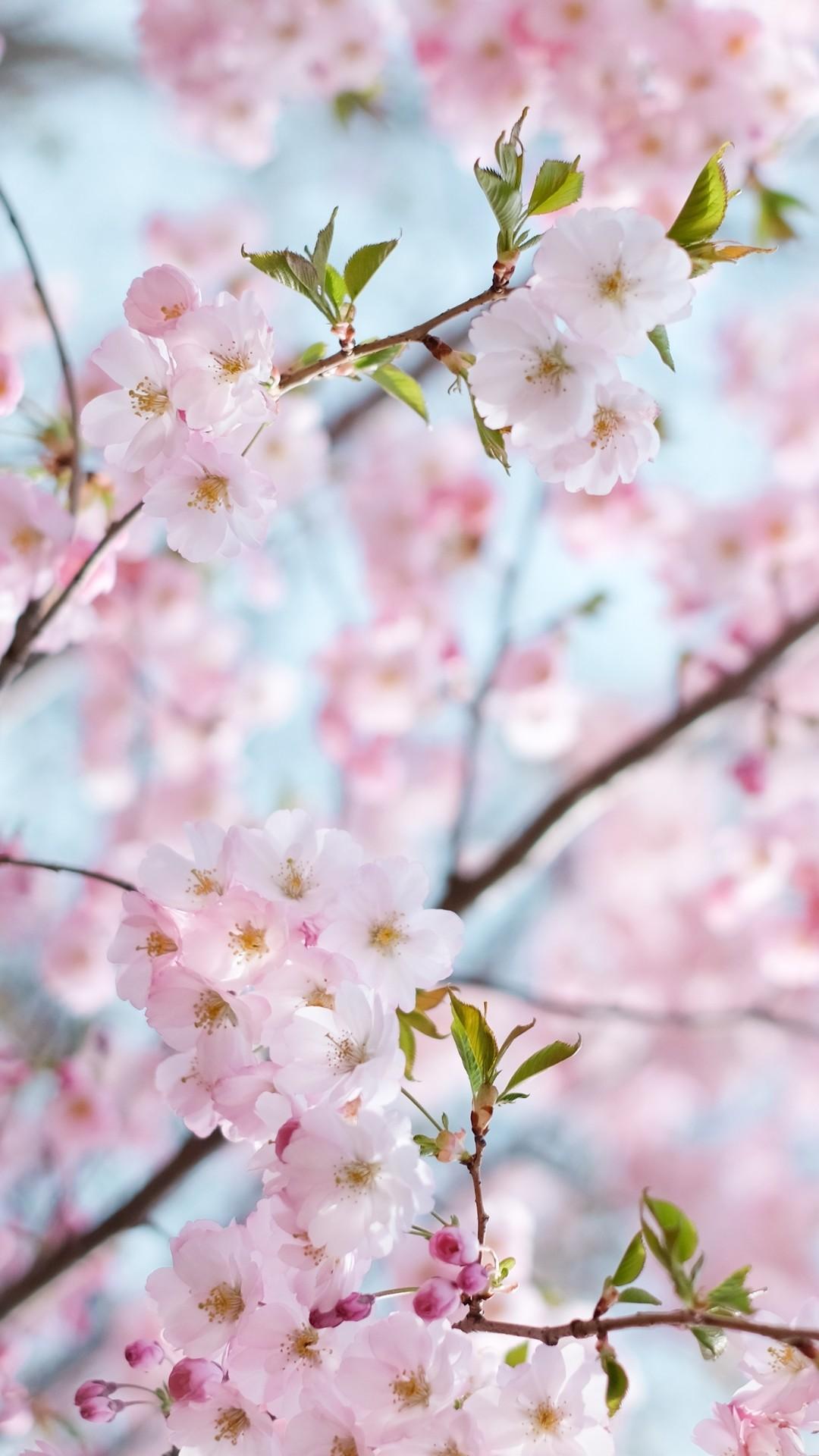 Cherry Blossom ios wallpaper