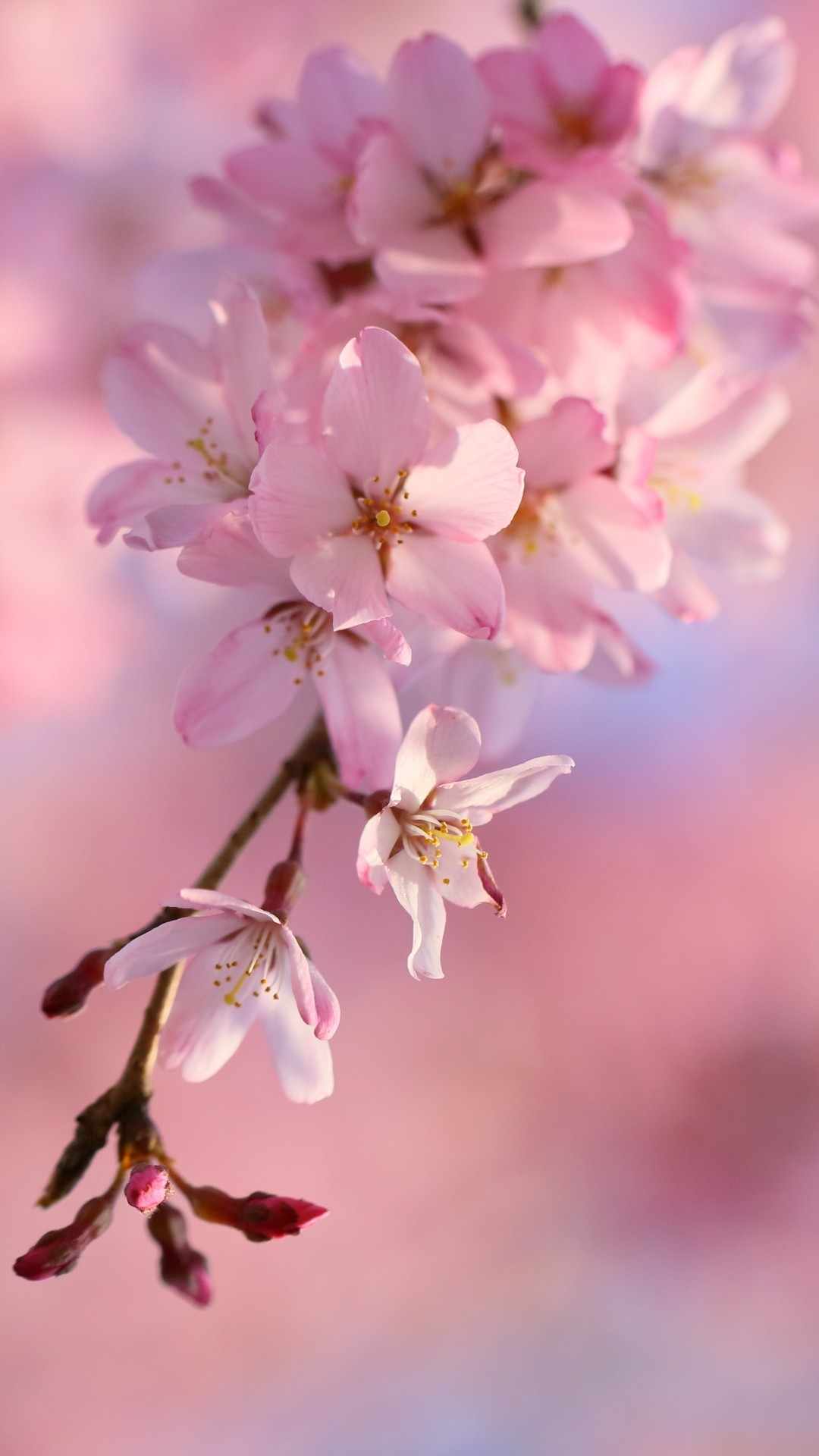 Cherry Blossom wallpaper for android