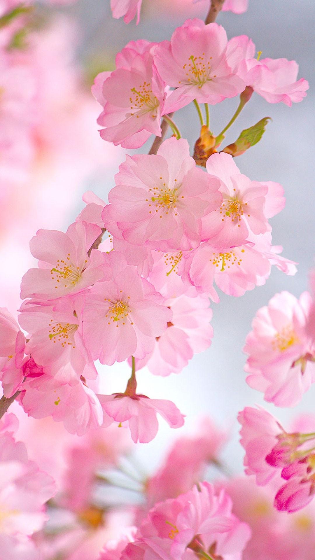 Cherry Blossom iphone 8 wallpaper