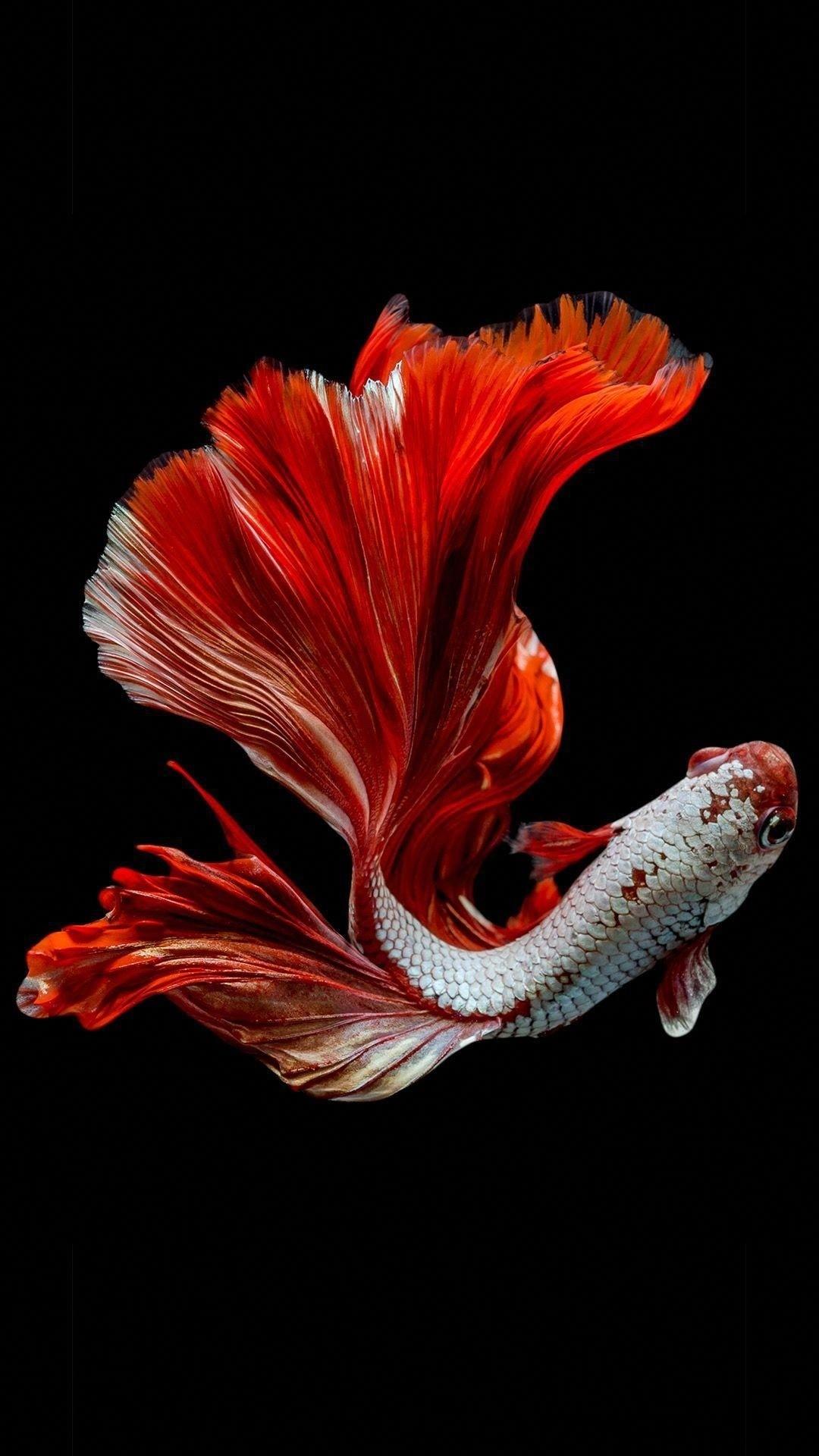 Koi Fish phone wallpaper hd