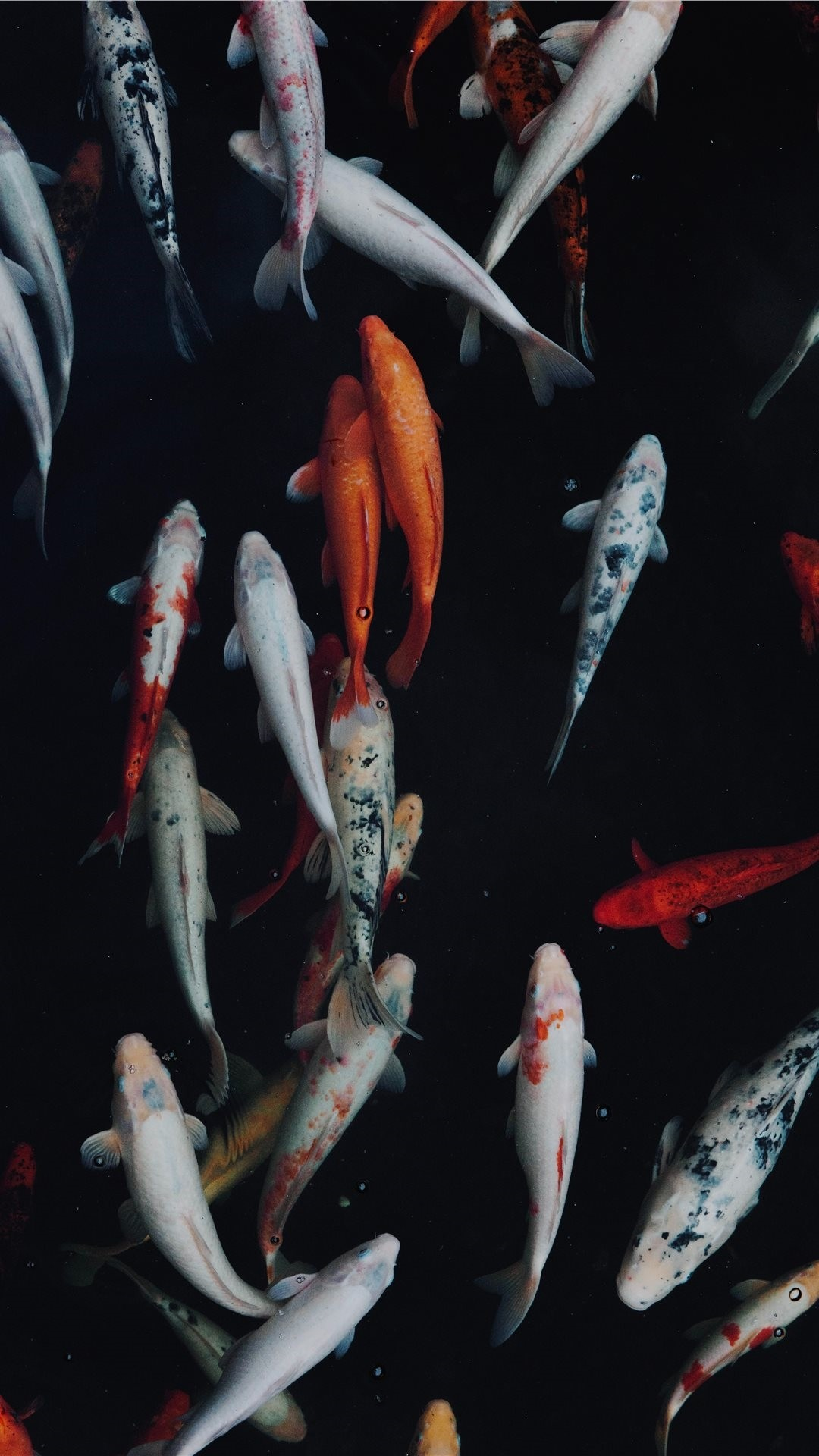 Koi Fish iphone wallpaper high quality