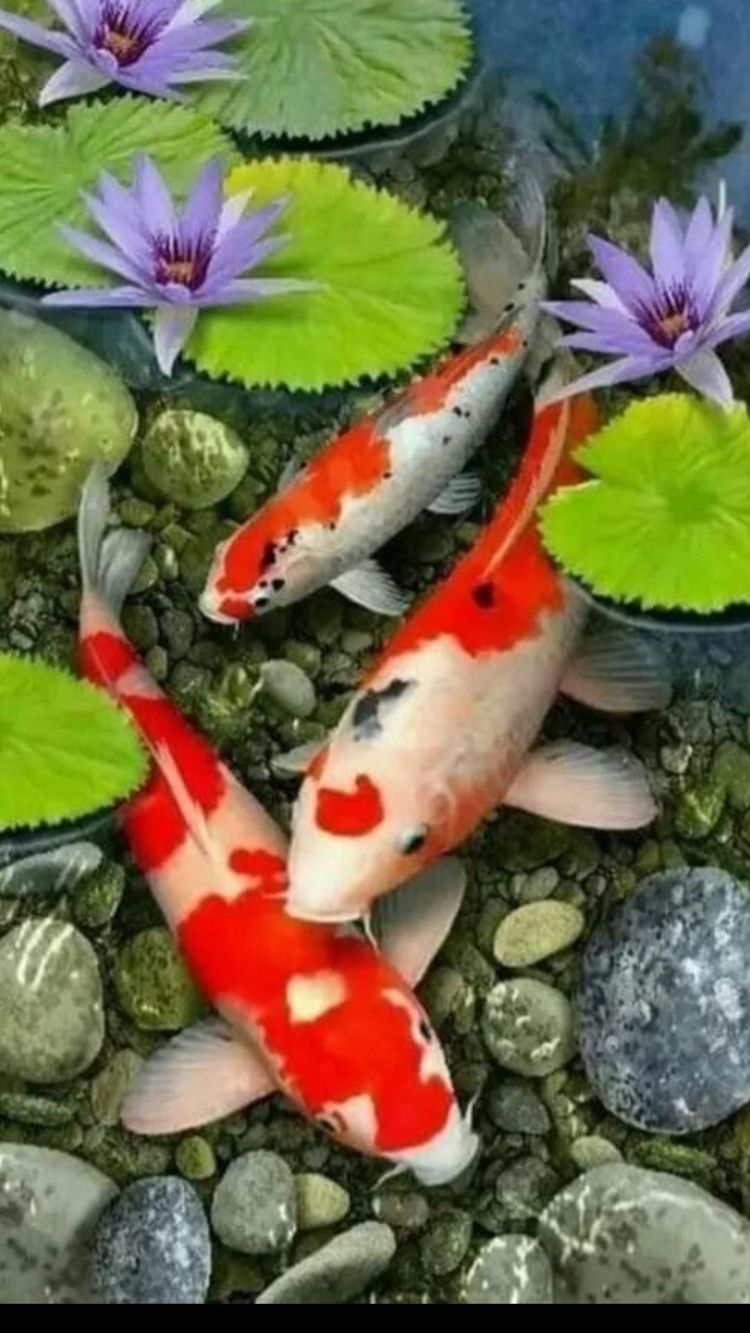 Koi Fish iphone 7 wallpaper