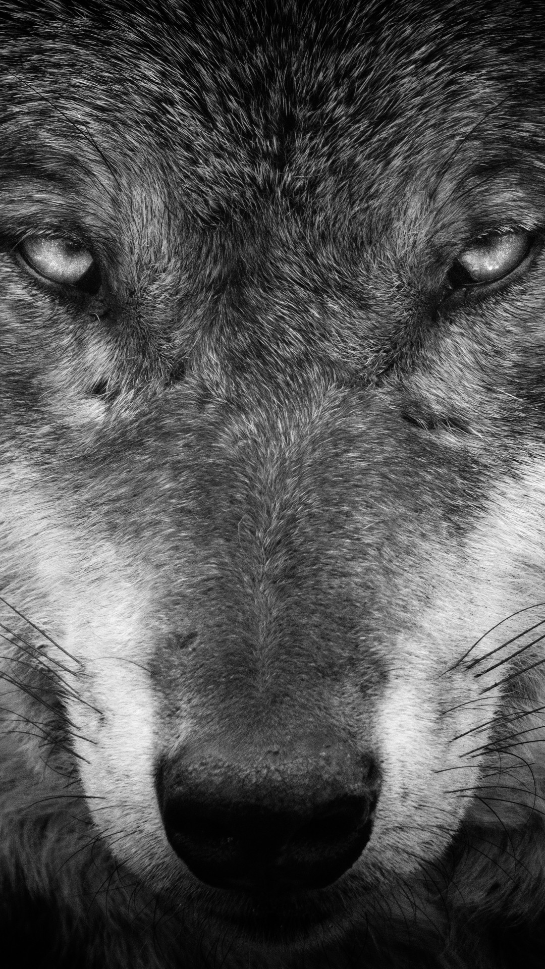 Wolf iphone 6 wallpaper