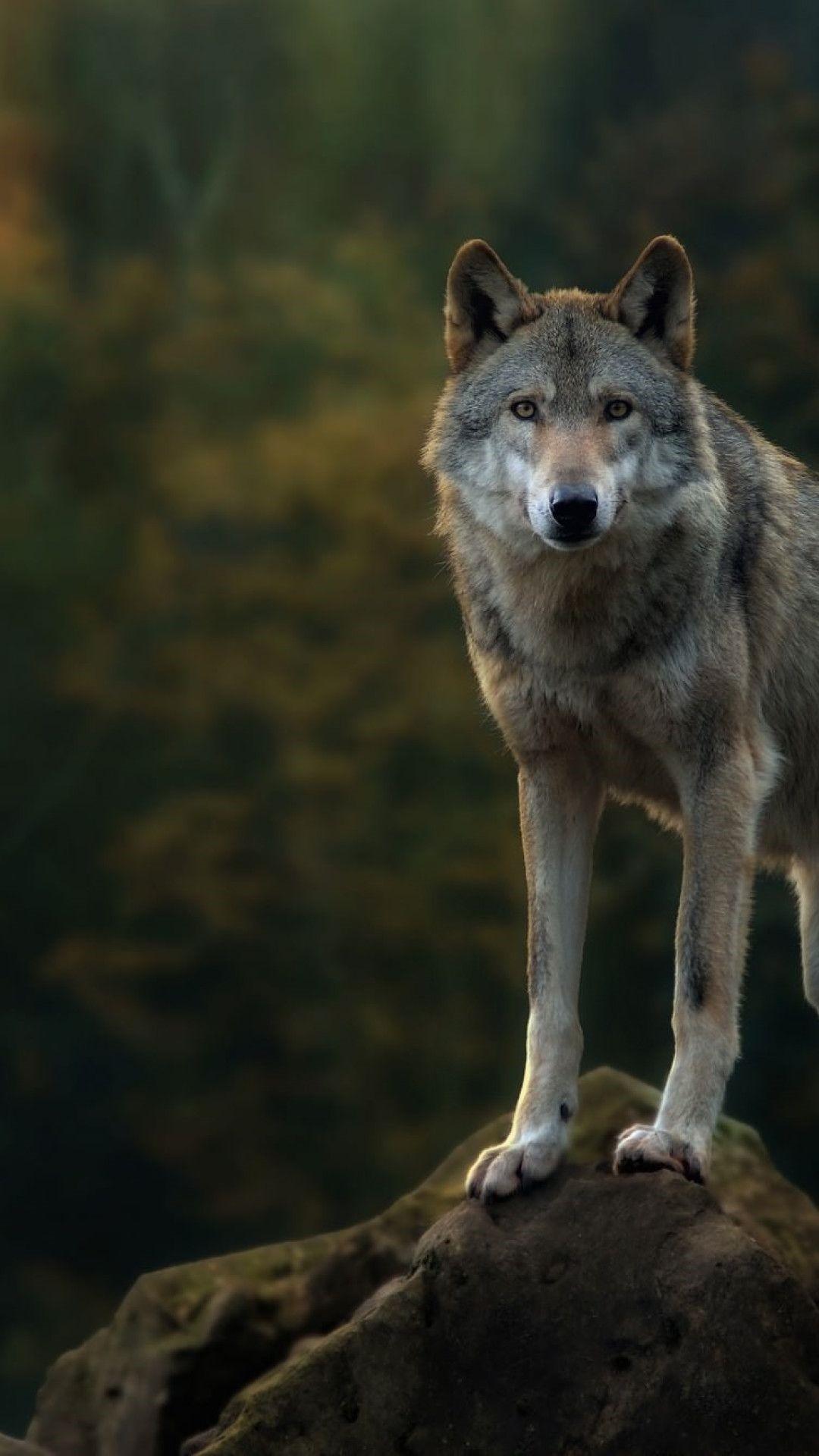 Wolf screensaver wallpaper