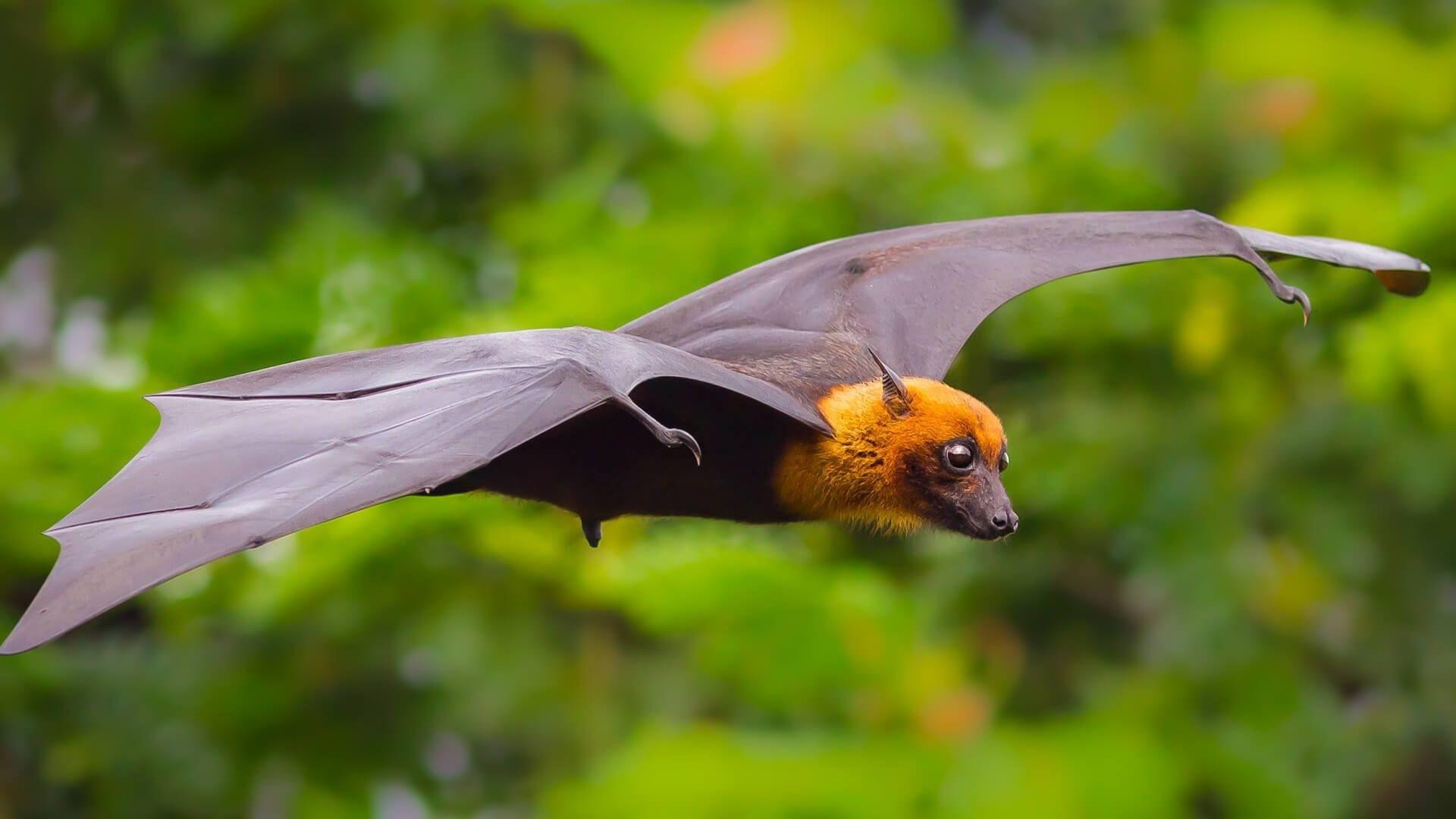 Bat Wallpaper Picture hd