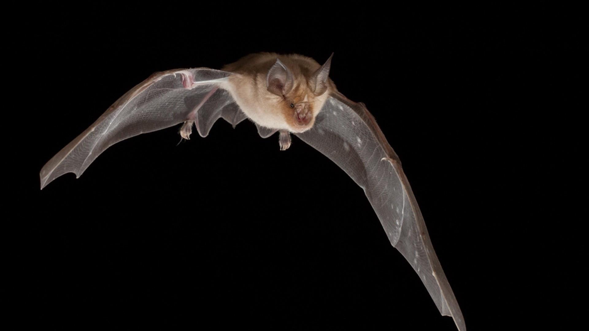 Bat Desktop wallpaper