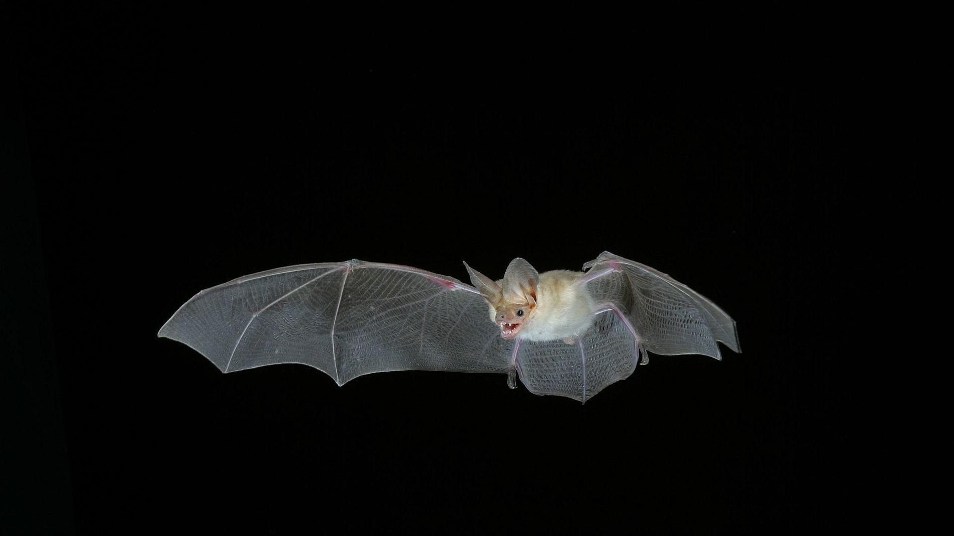 Bat PC Wallpaper HD