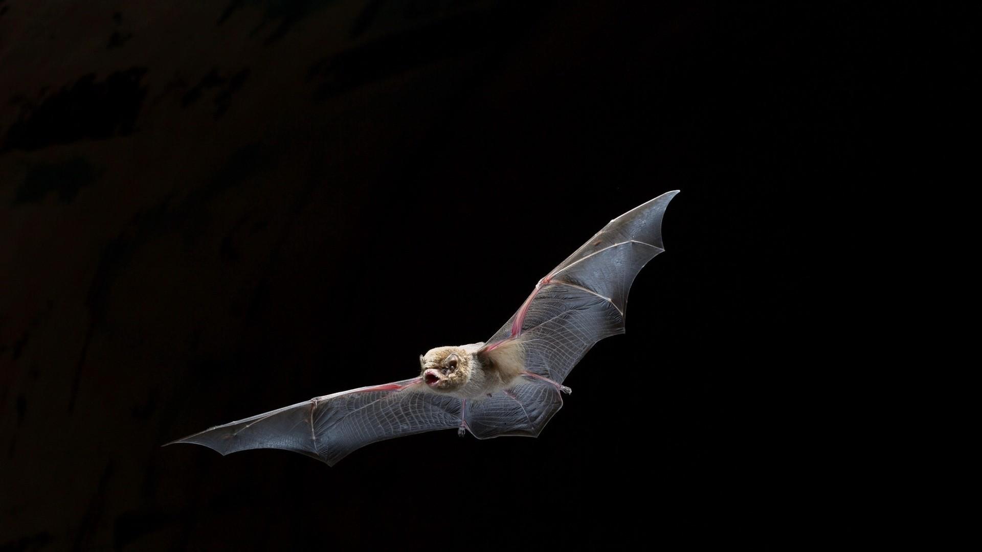 Bat Wallpaper theme