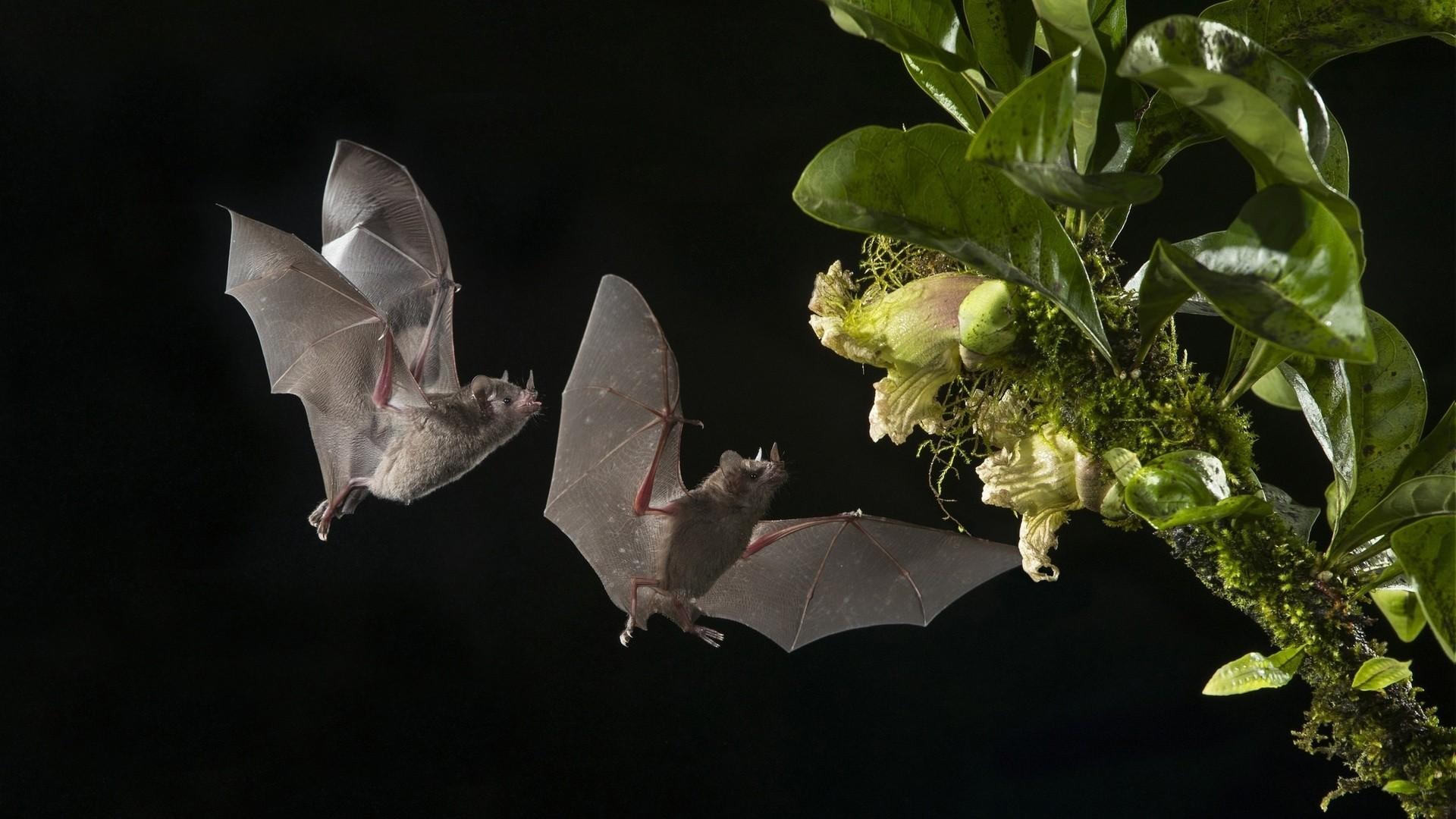 Bat Full HD Wallpaper