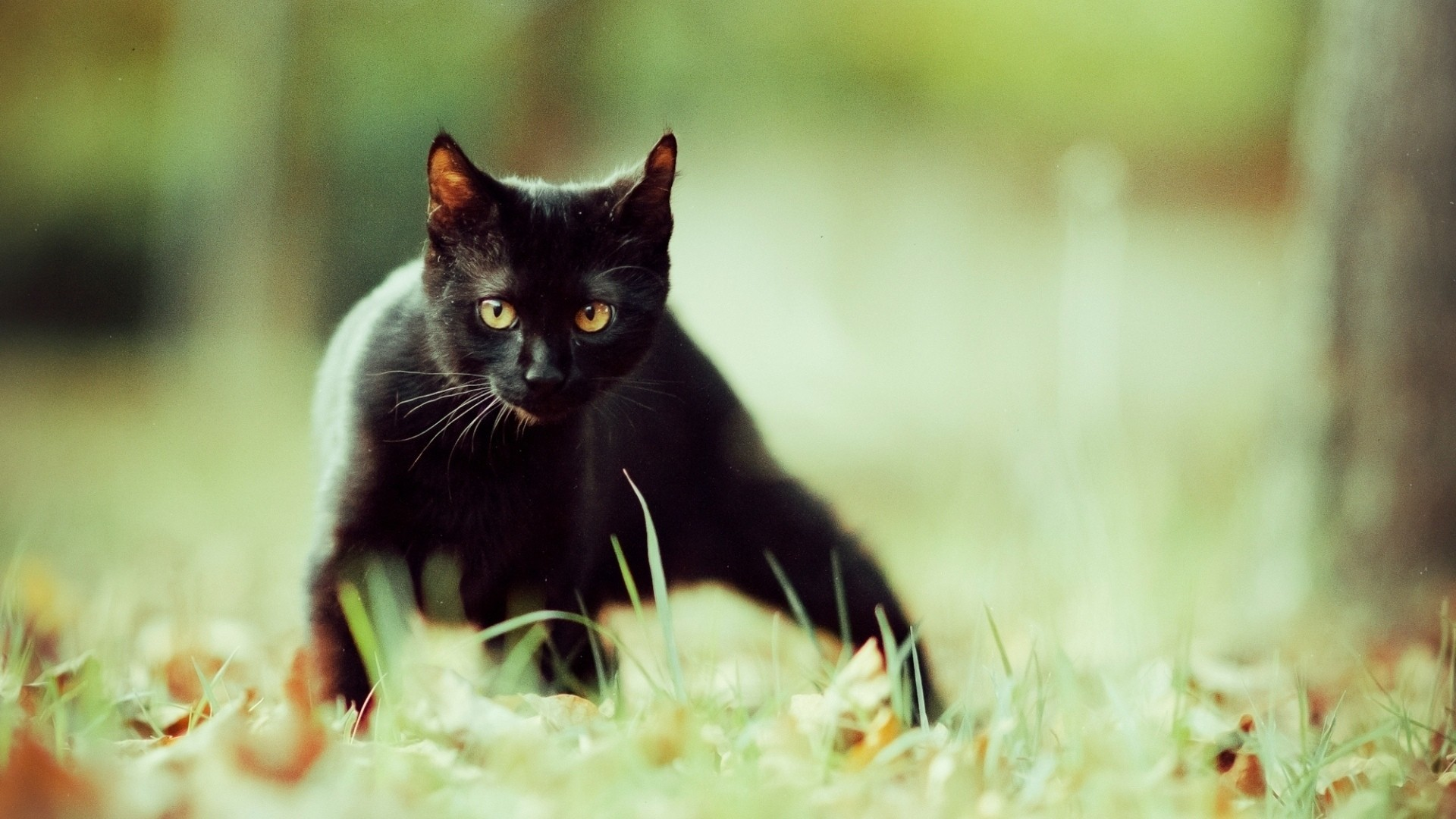 Black Cat Wallpaper image hd