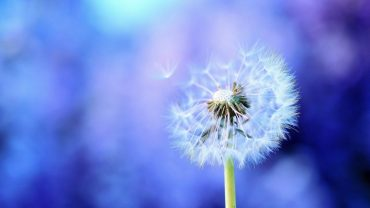 Dandelion Wallpaper image hd
