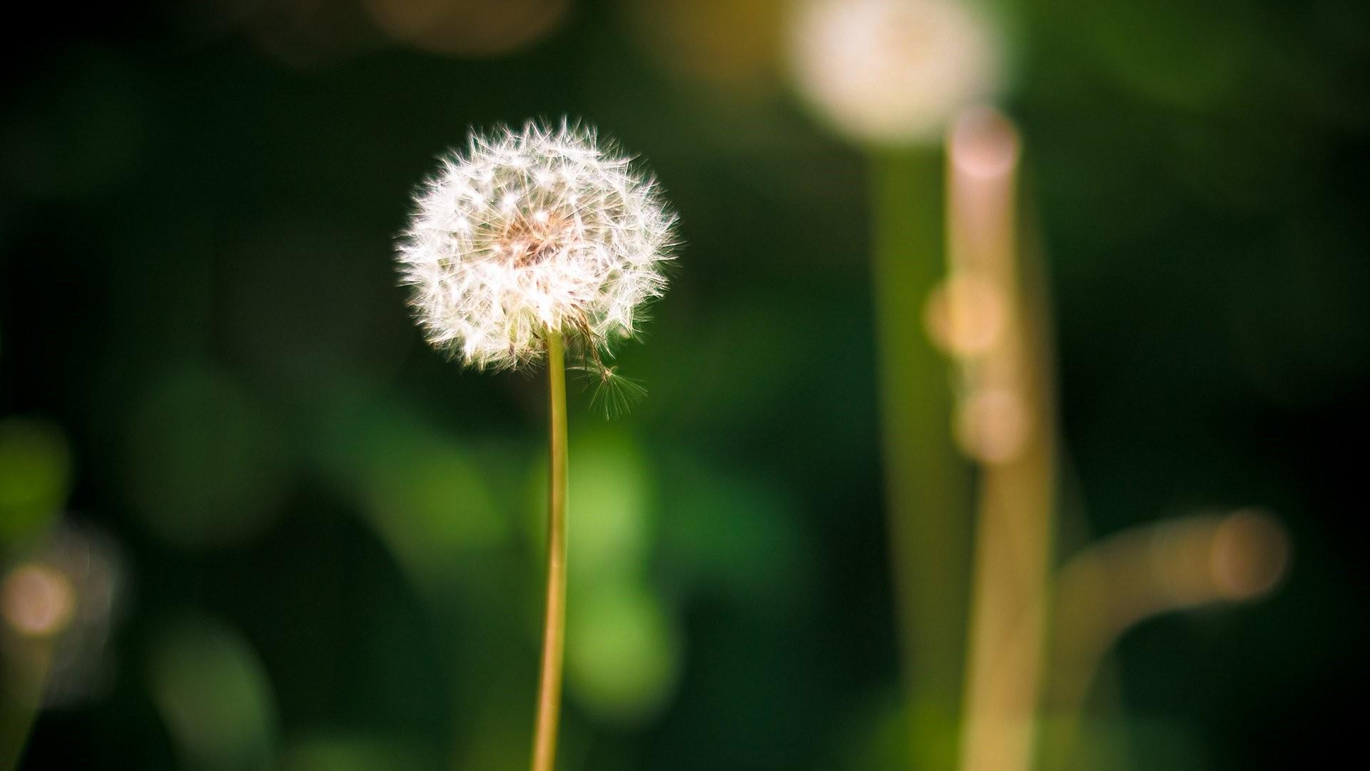 Dandelion HD Download