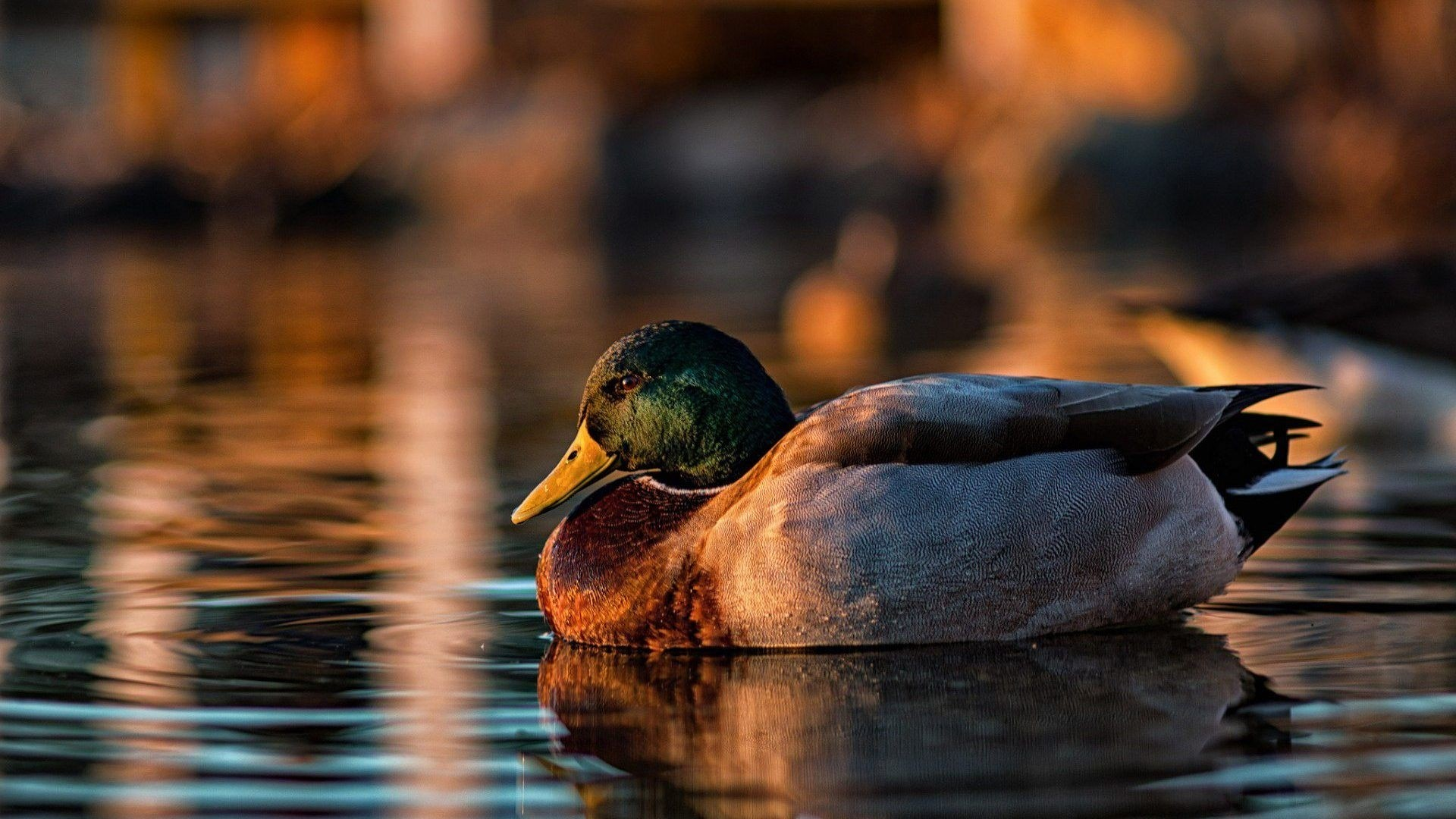 Duck Picture