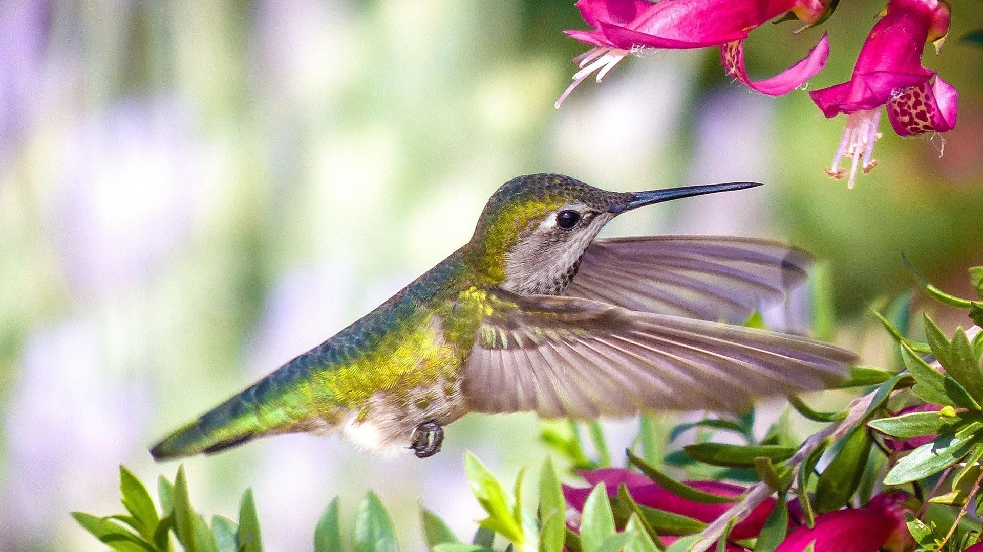 Hummingbird PC Wallpaper