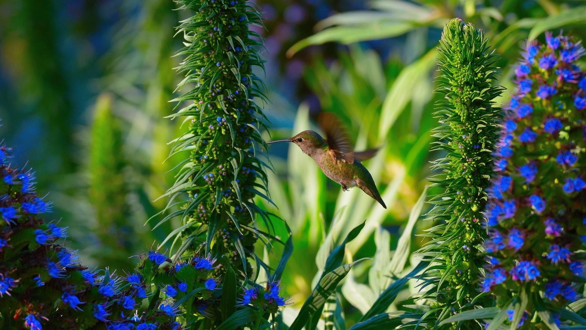 Hummingbird Desktop wallpaper