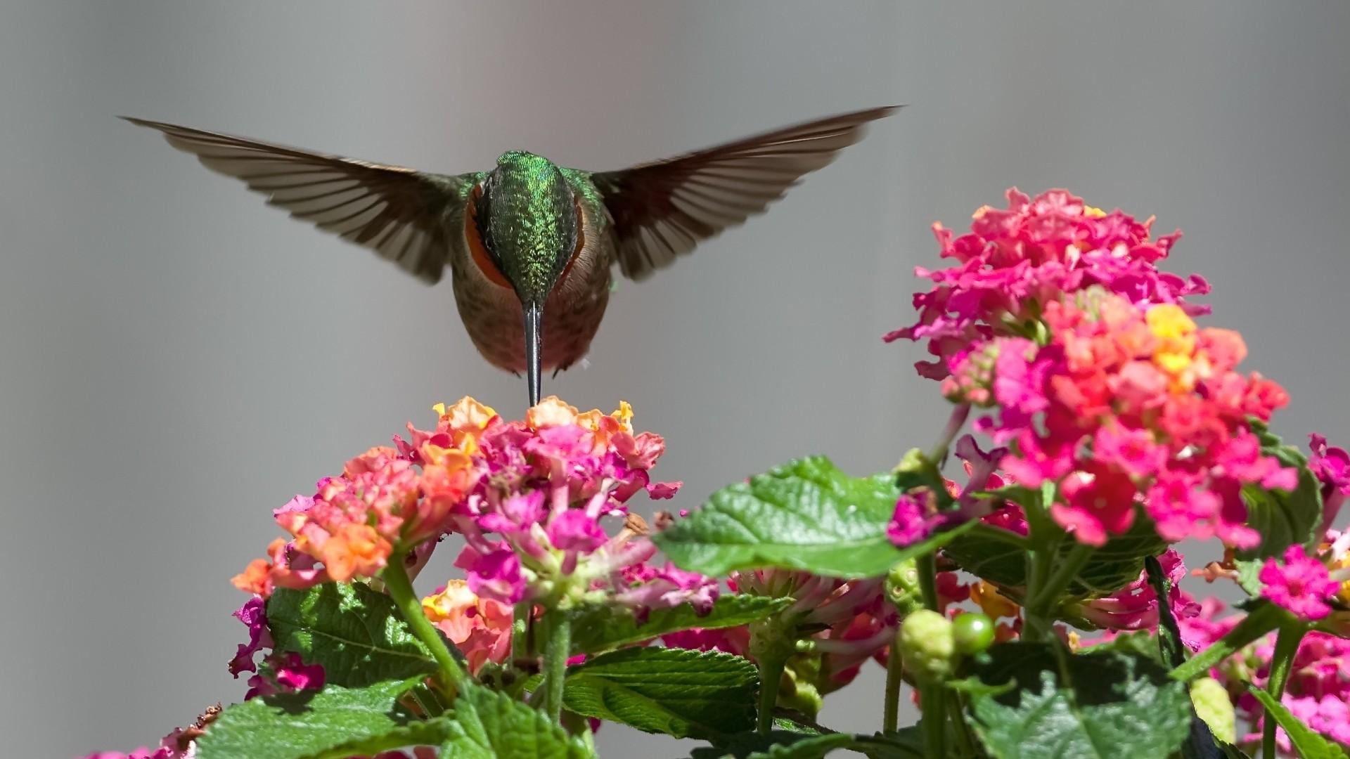 Hummingbird HD Wallpaper