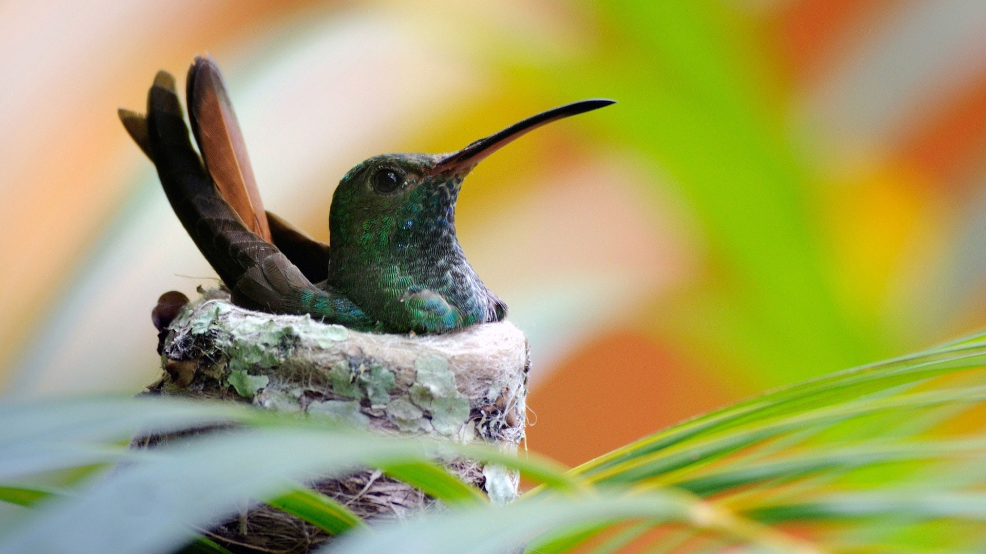 Hummingbird Wallpaper for pc