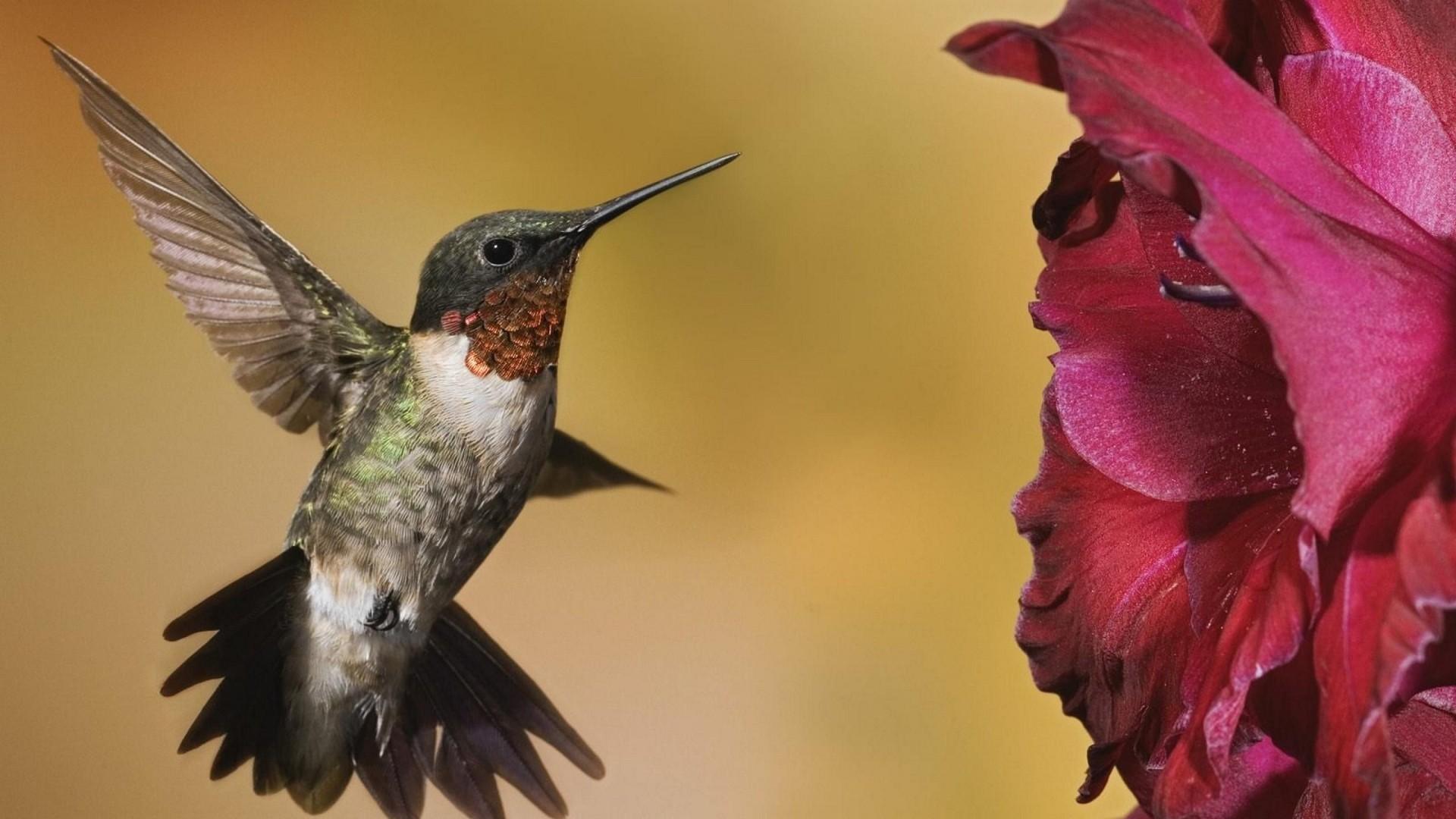 Hummingbird hd wallpaper download