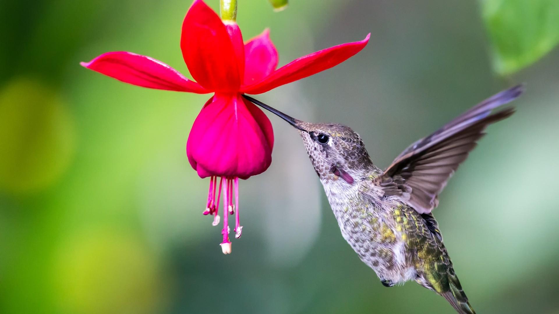 Hummingbird hd desktop wallpaper