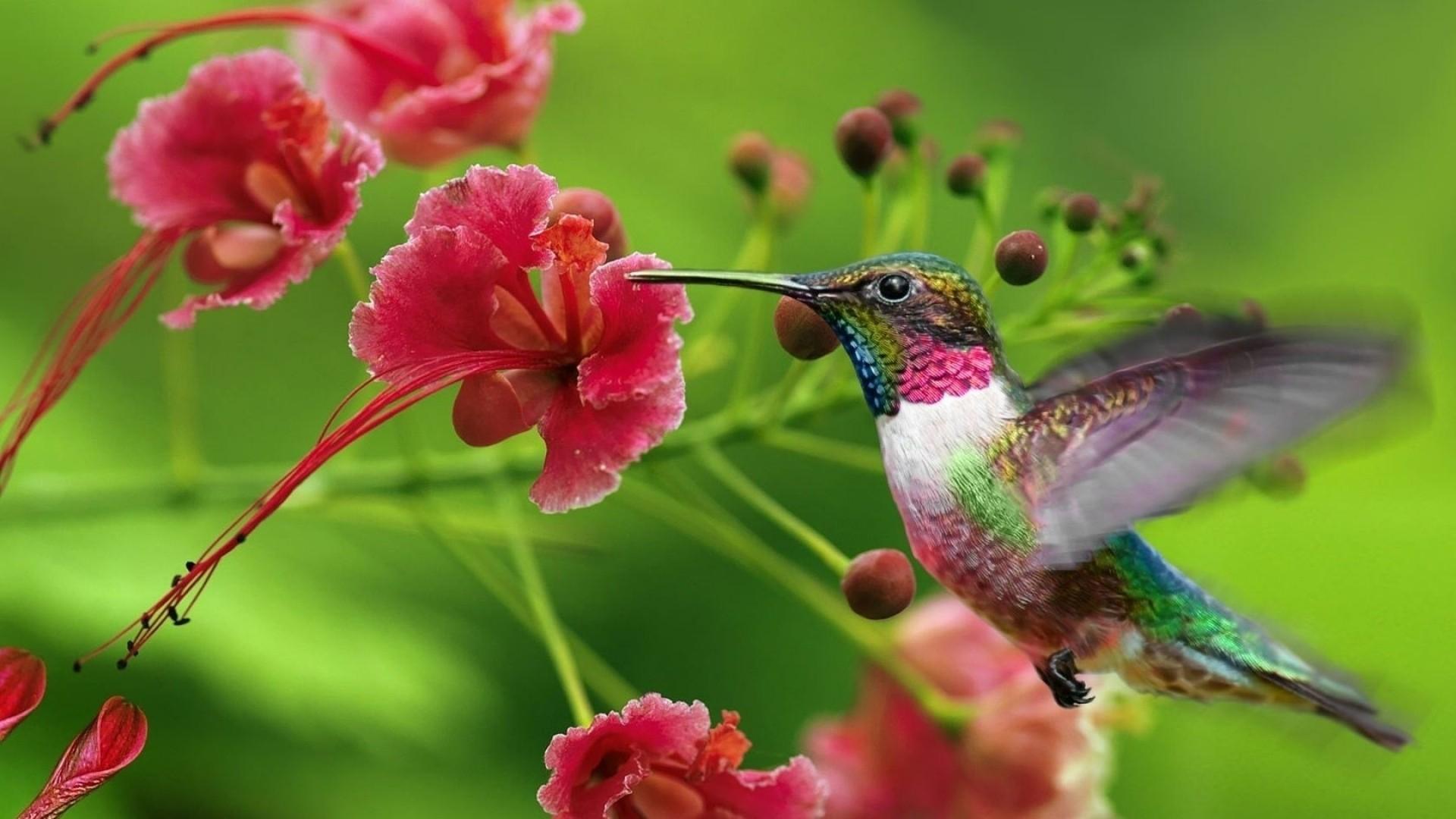 Hummingbird High Quality