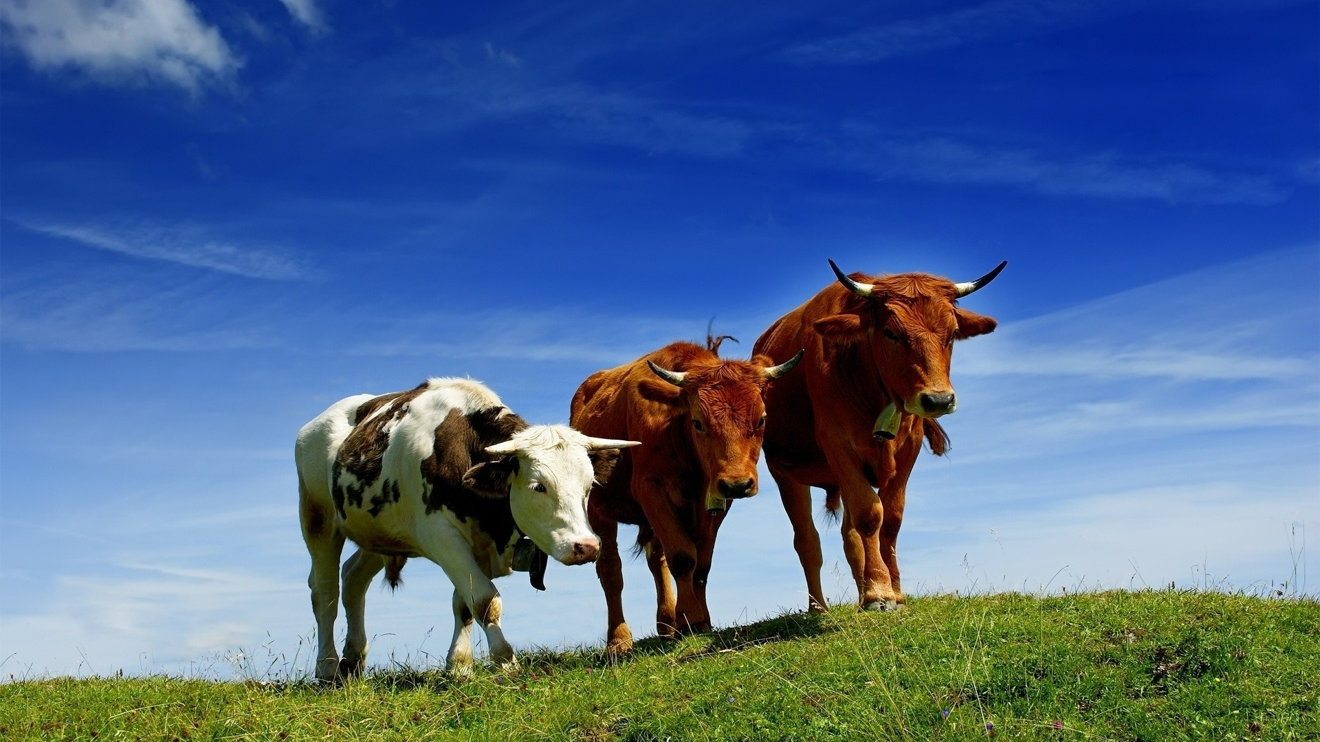 Cow wallpaper photo hd