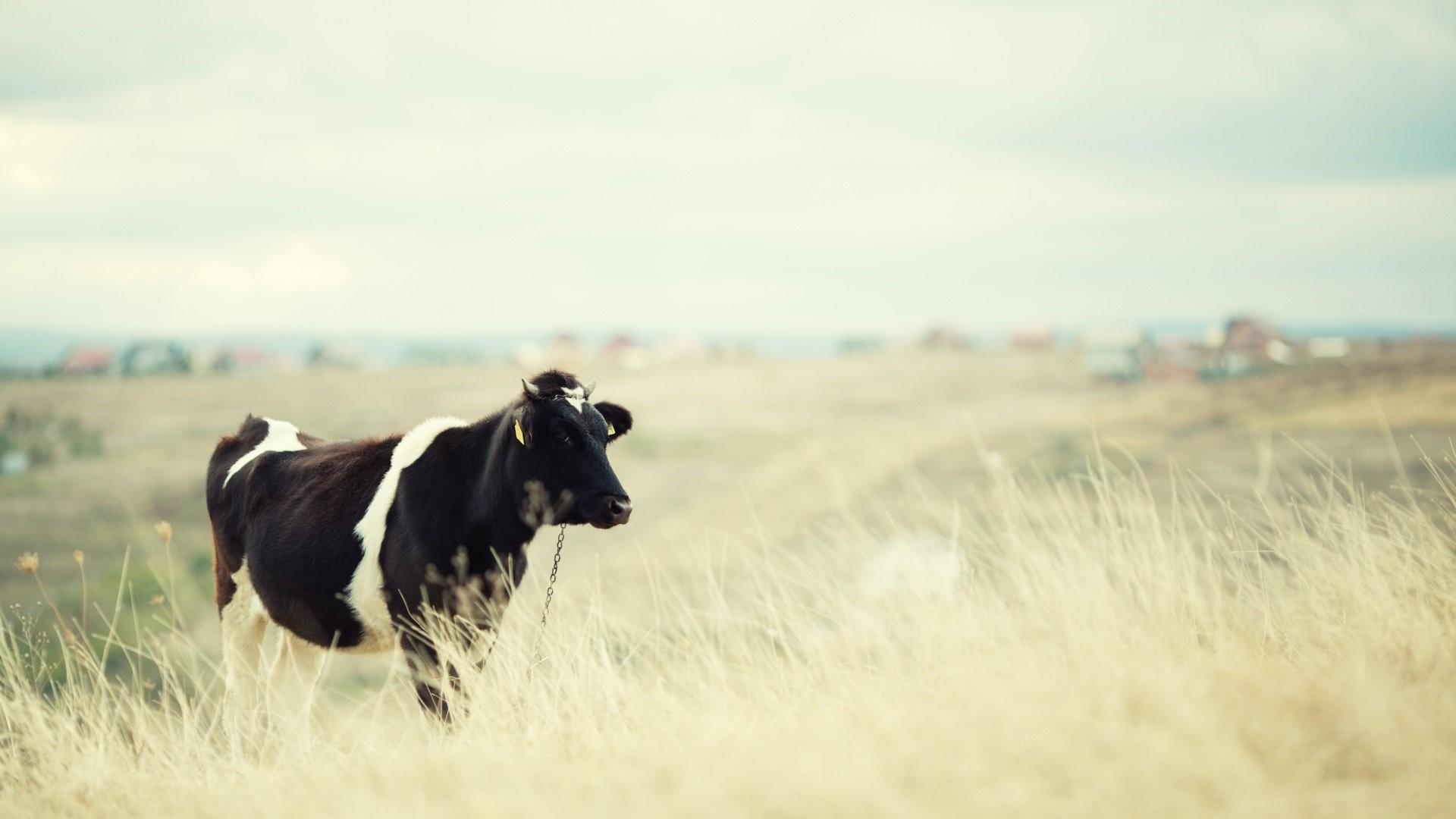 Cow HD Wallpaper