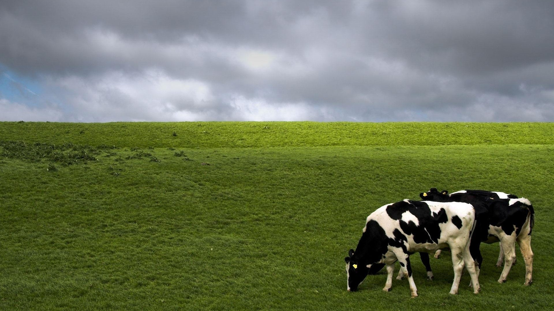 Cow Wallpaper and Background