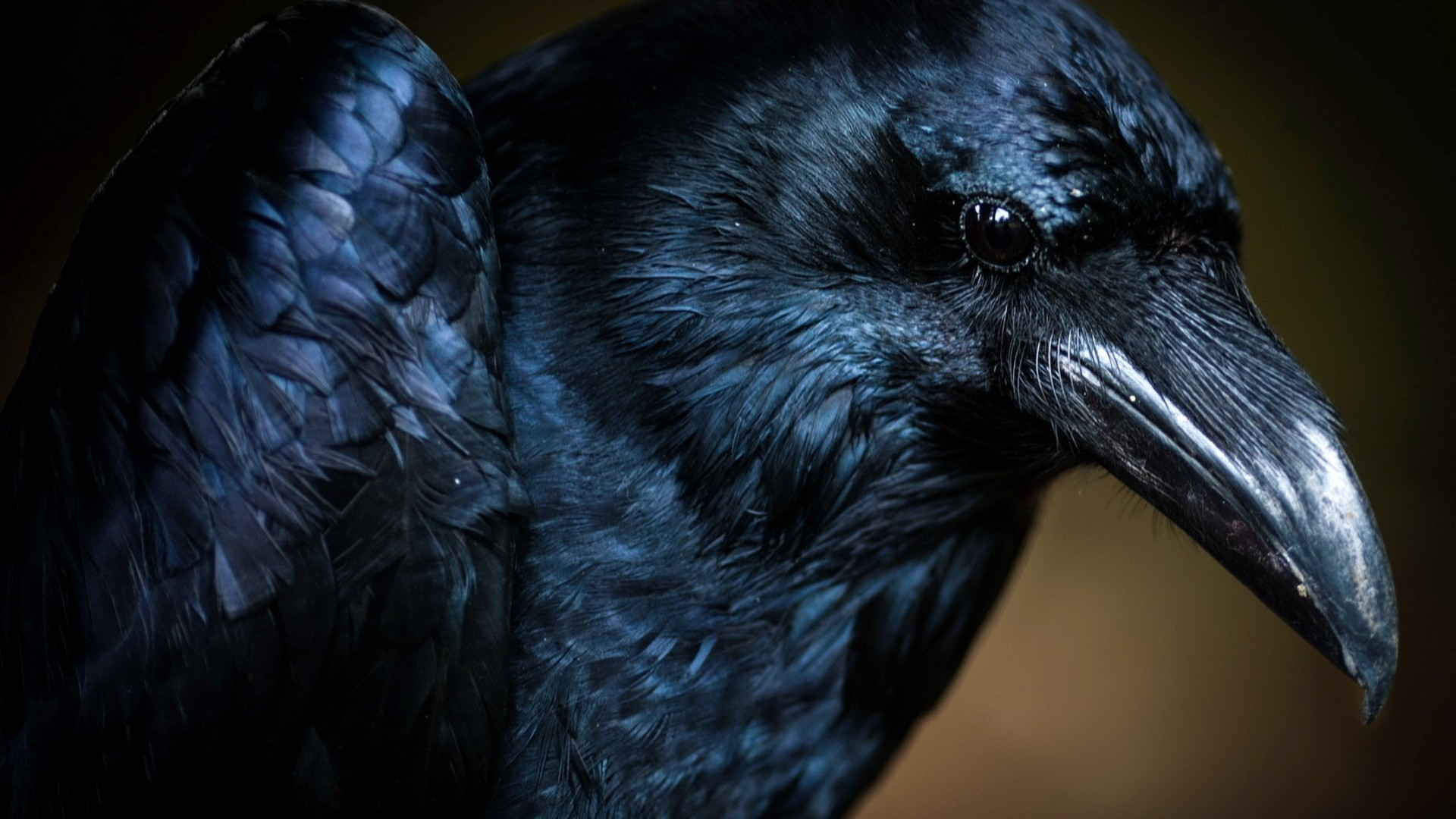Raven Wallpaper image hd
